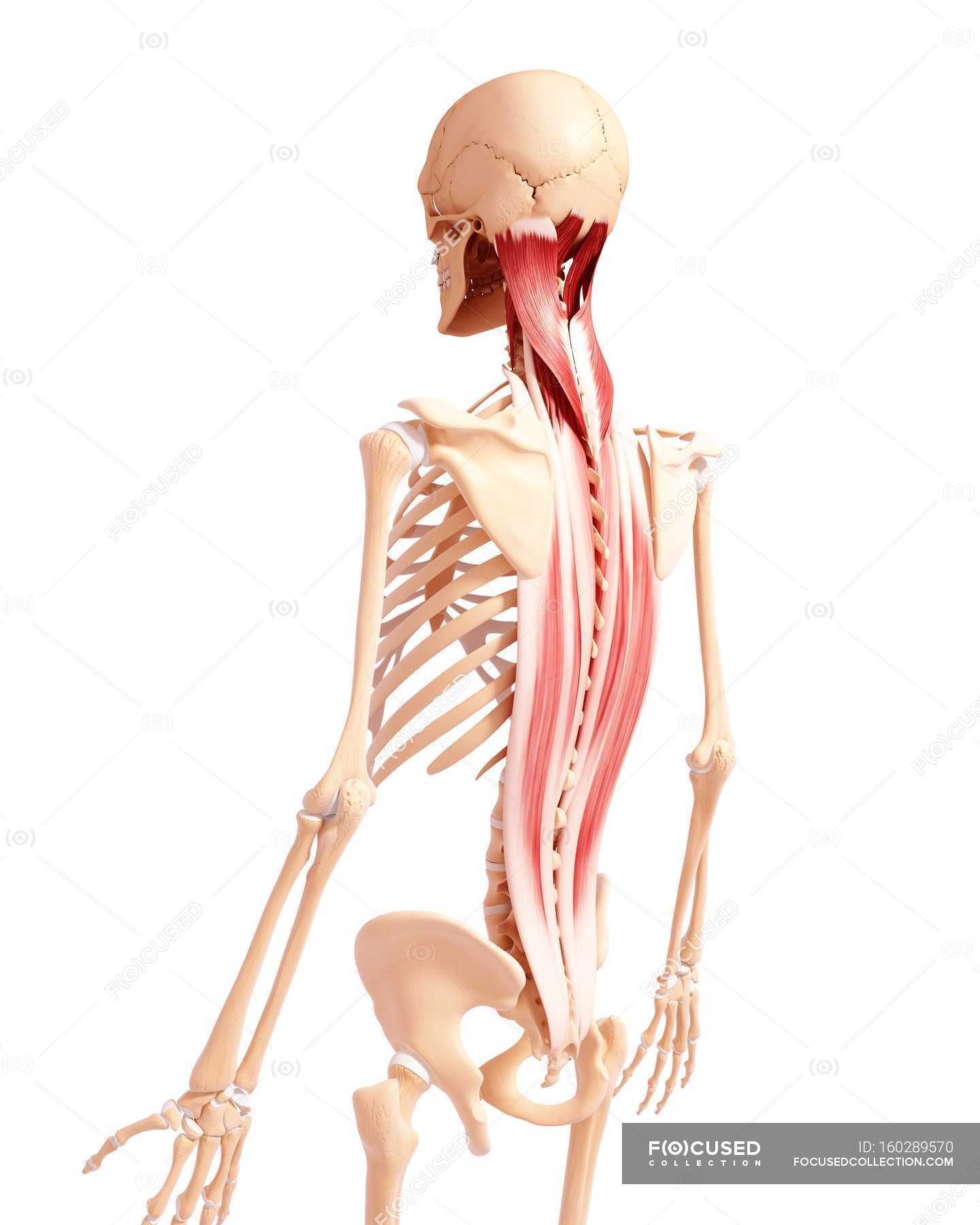 Menschliche Rückenmuskulatur — Stockfoto | #160289570