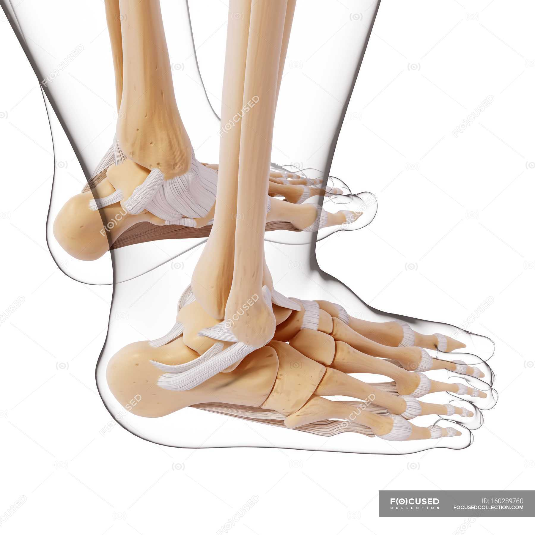 Human Foot Bones Structural Anatomy White Background Side View