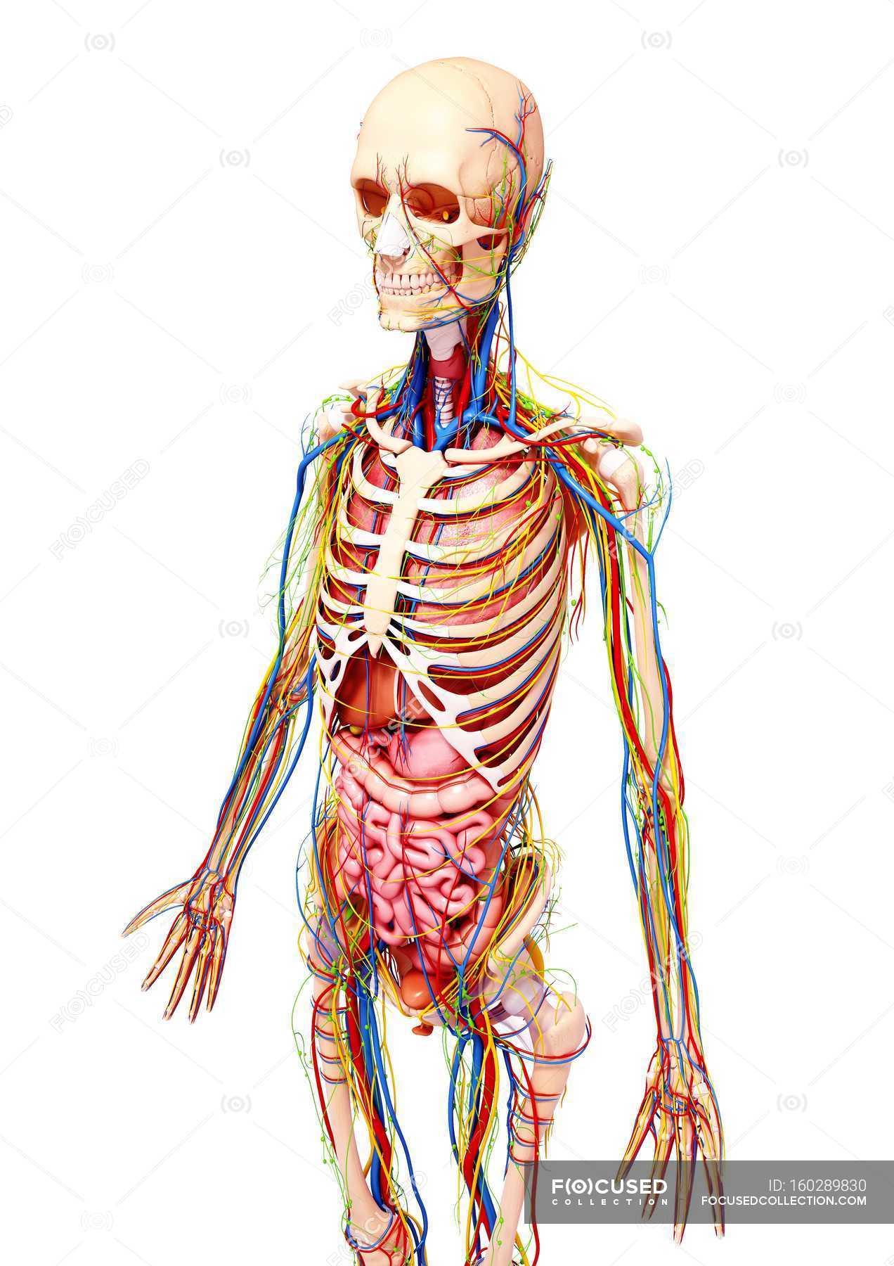 Anatomie und Körper-Systeme Erwachsenfrau — Stockfoto | #160289830