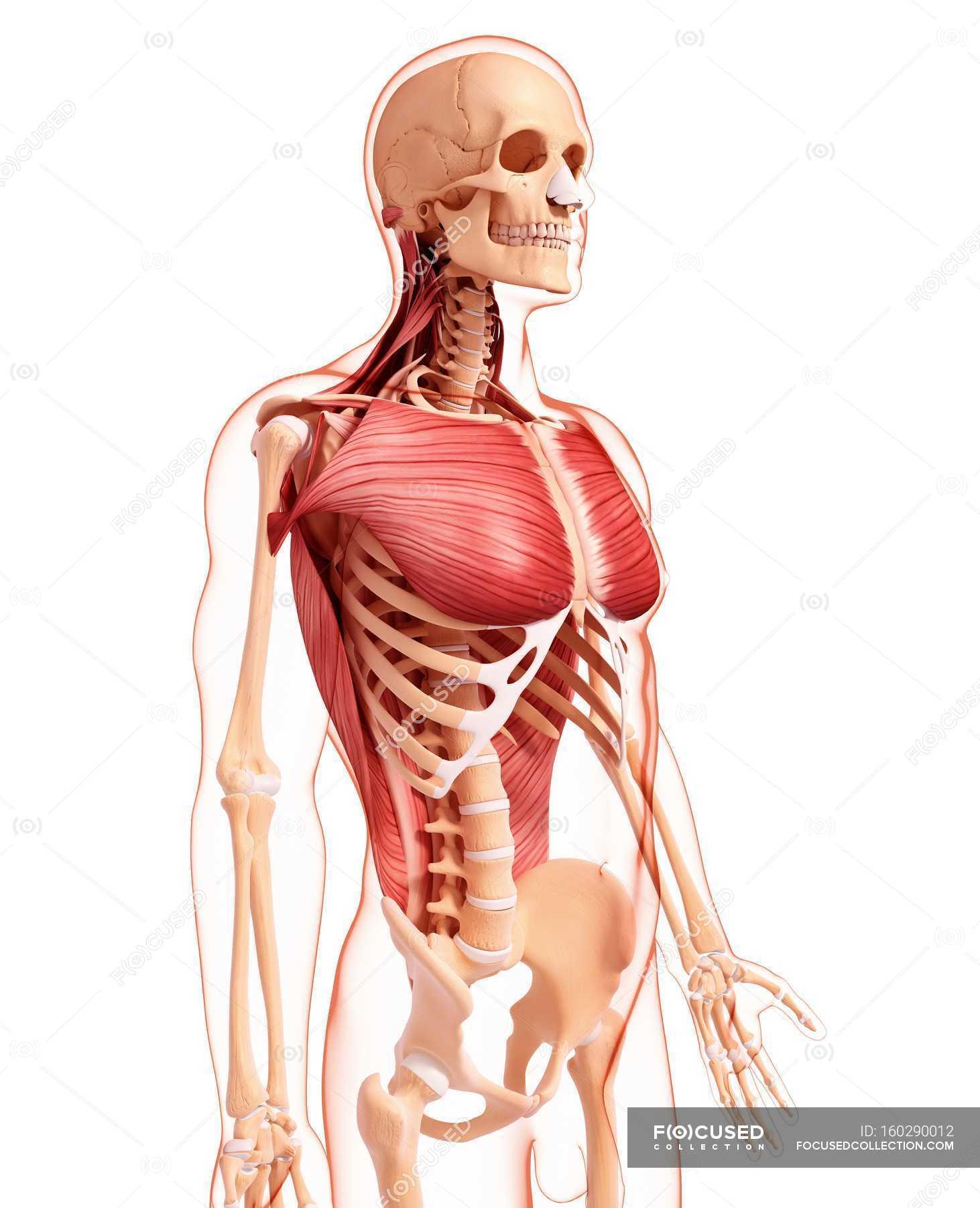 Menschliche Brust und Rückenmuskulatur — Stockfoto | #160290012