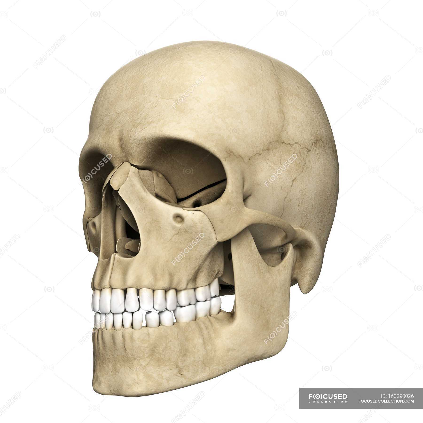 Visual Render Of Human Skull White Background Human Body Stock