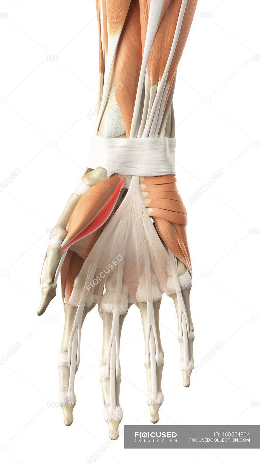 Human Hand Muscles Stock Photo 160554304