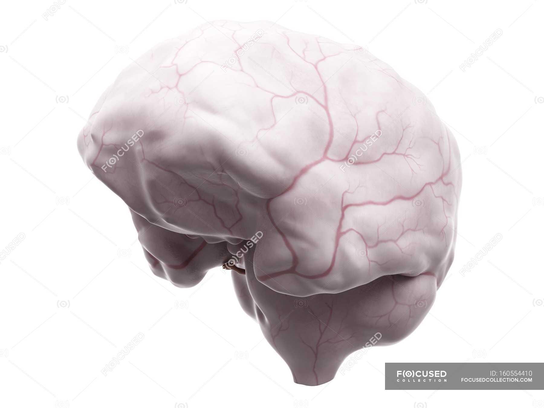 Anatomía del cerebro que muestra el sistema de suministro de sangre ...