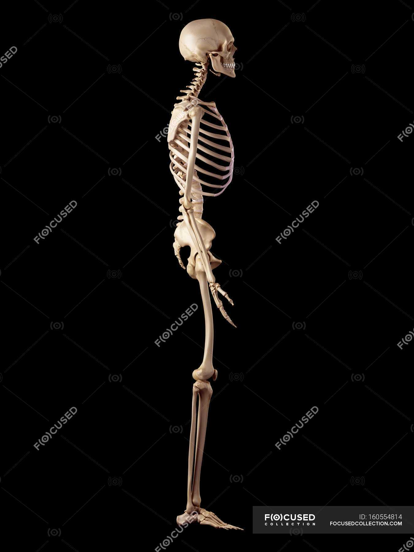 Human Skeletal Structure Side View Black Background Stock Photo