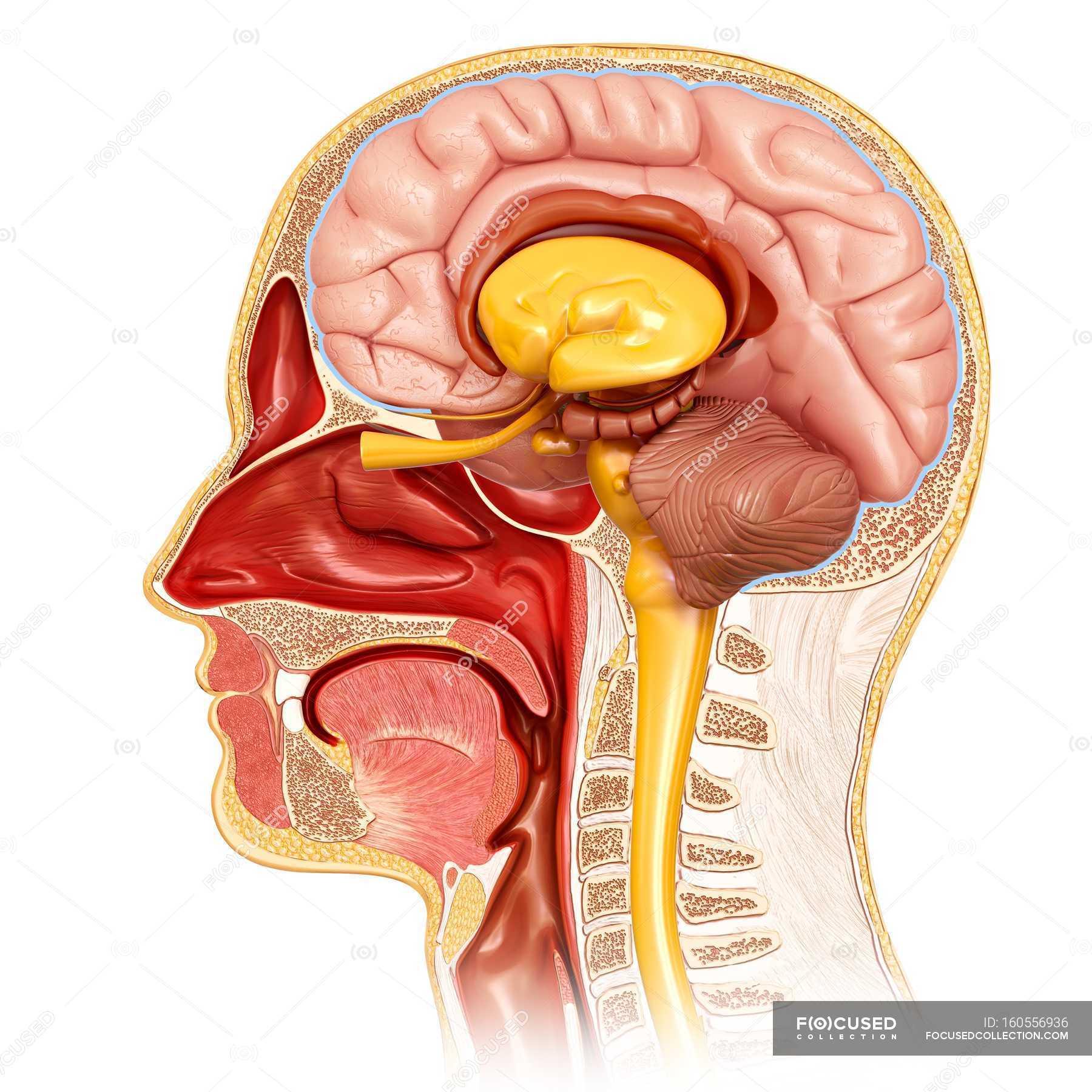 Querschnitt der menschlichen Kopf Anatomie — Stockfoto | #160556936