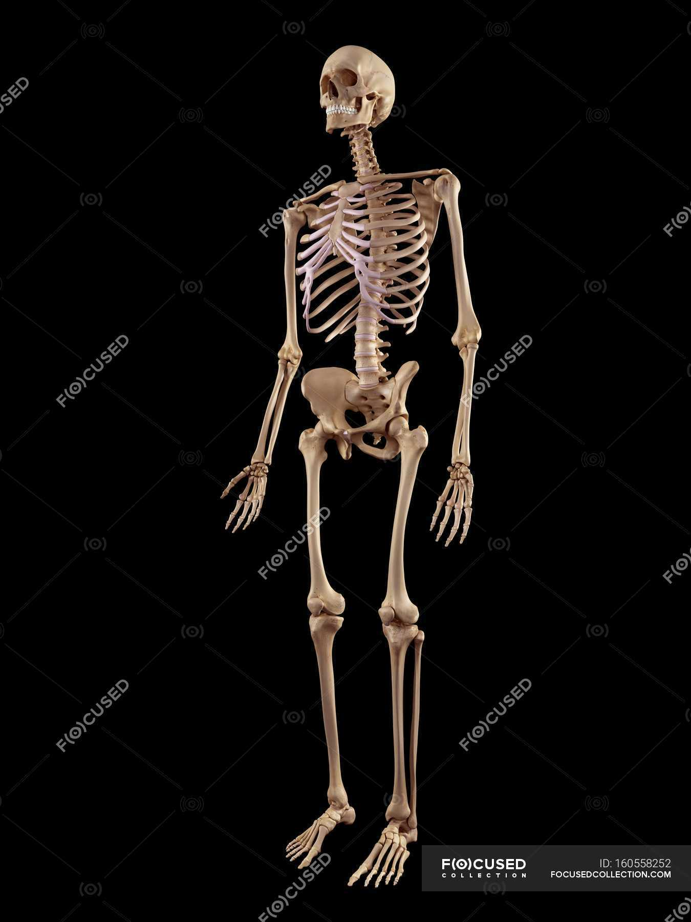 Human Skeletal Structure Stock Photo 160558252