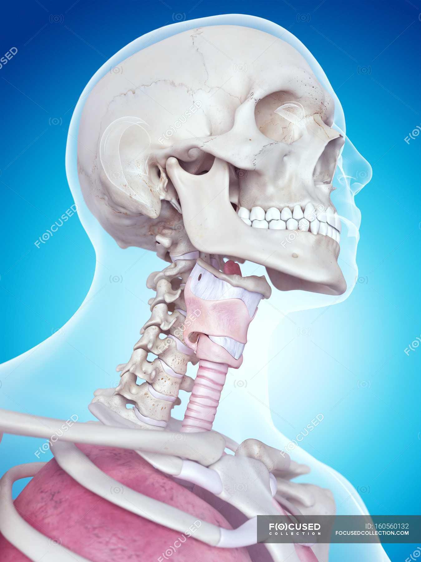 Human larynx anatomy — Stock Photo | #160560132