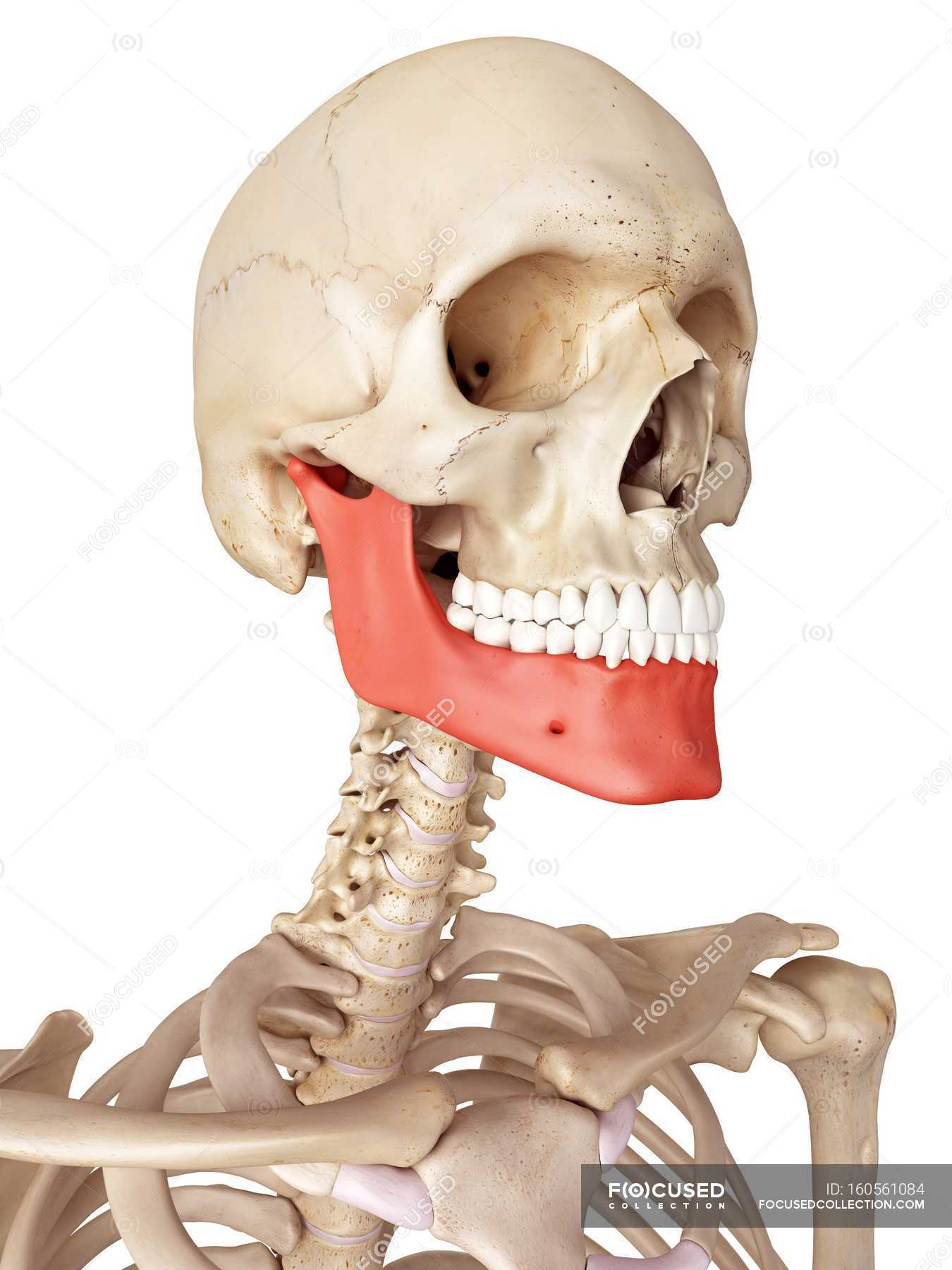 Human Jaw Bone Anatomy White Background Plain Background Stock