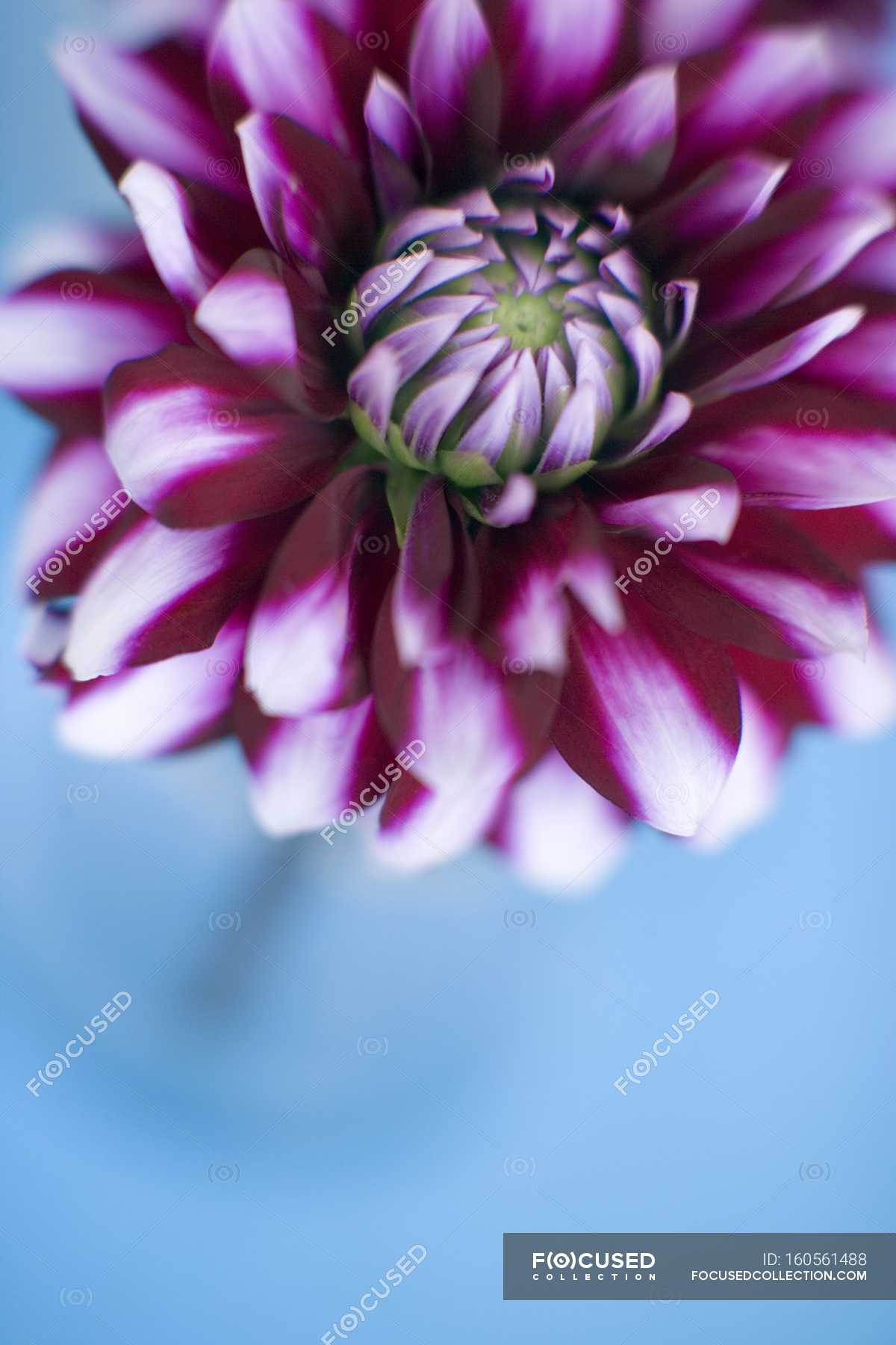 Close Up Of Dahlia Flower On Blue Background Copy Space
