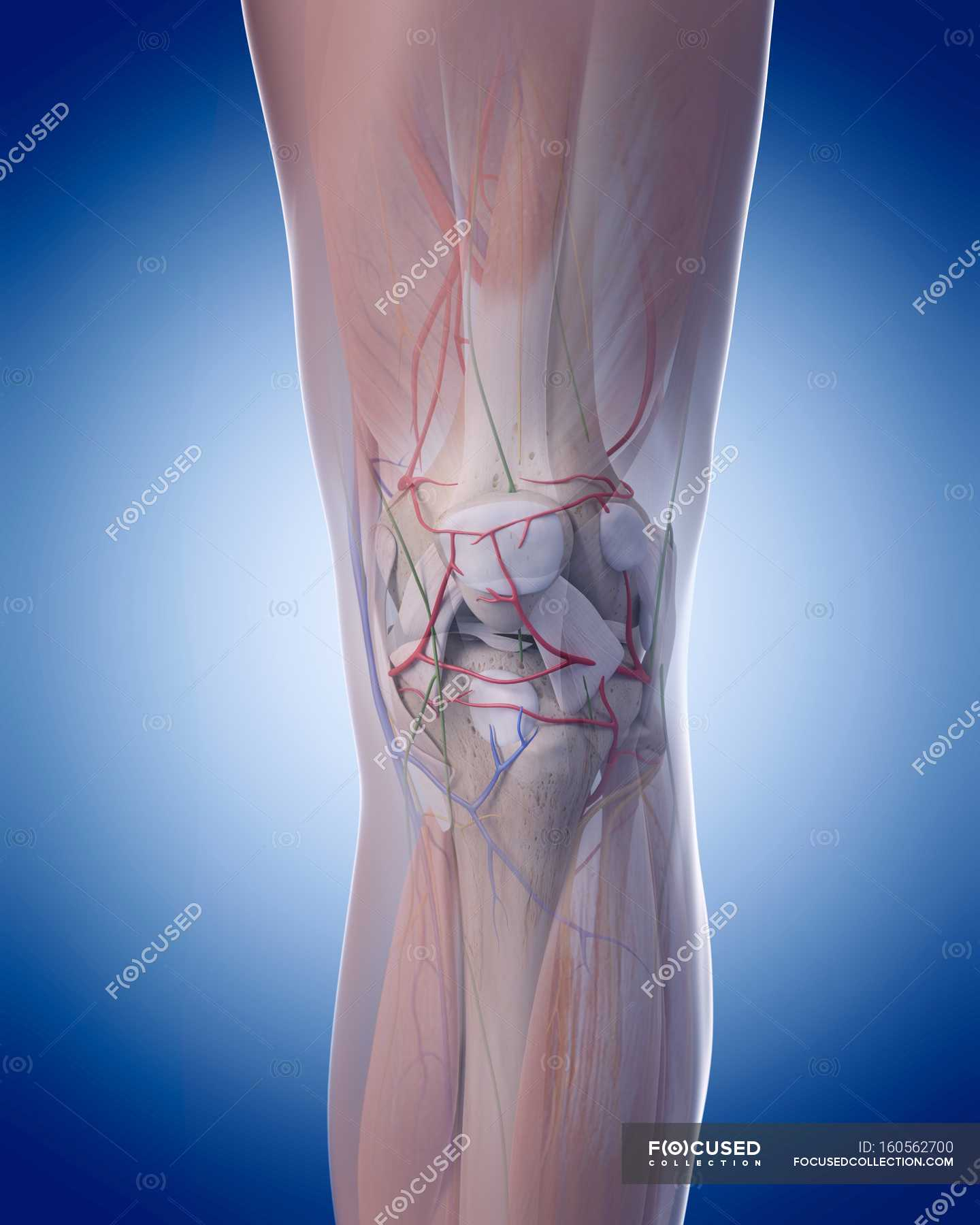 Human Leg Structural Anatomy Cut Out Plain Background Stock