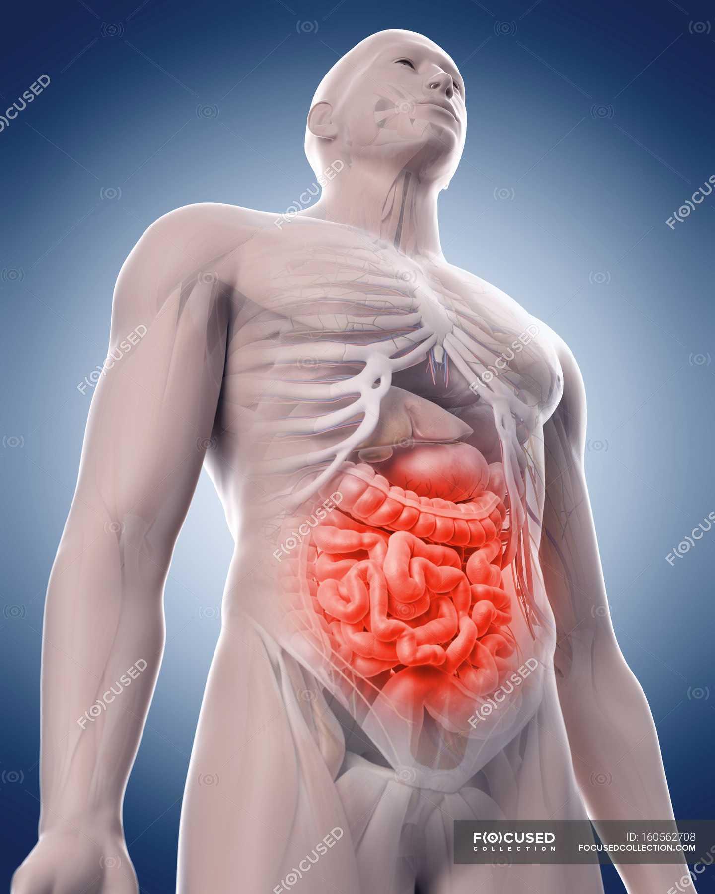 Internal organs and pelvic girdle — Stock Photo | #160562708
