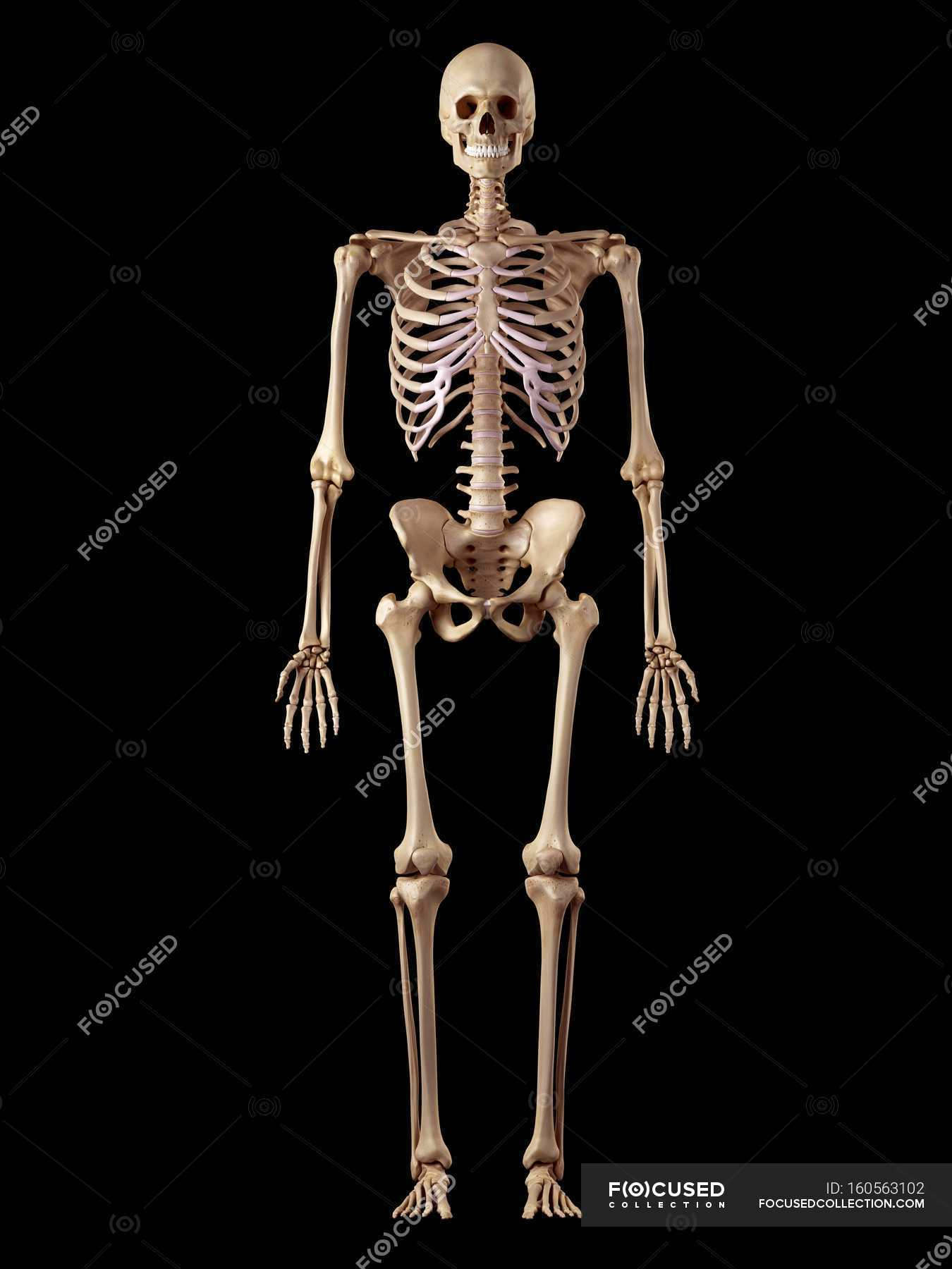 Human Skeletal Structure Front View Black Background Stock