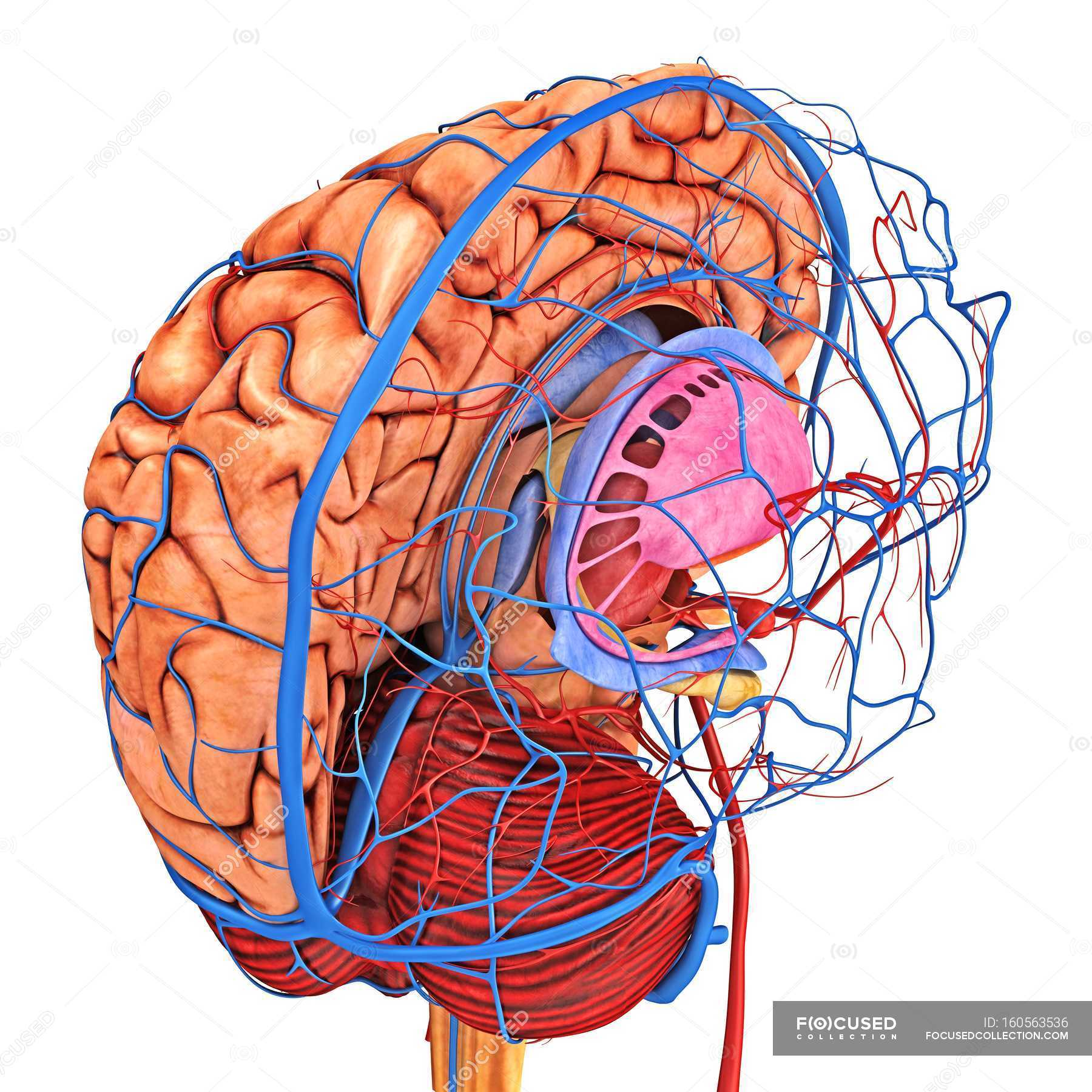 Brain blood supply — Stock Photo | #160563536