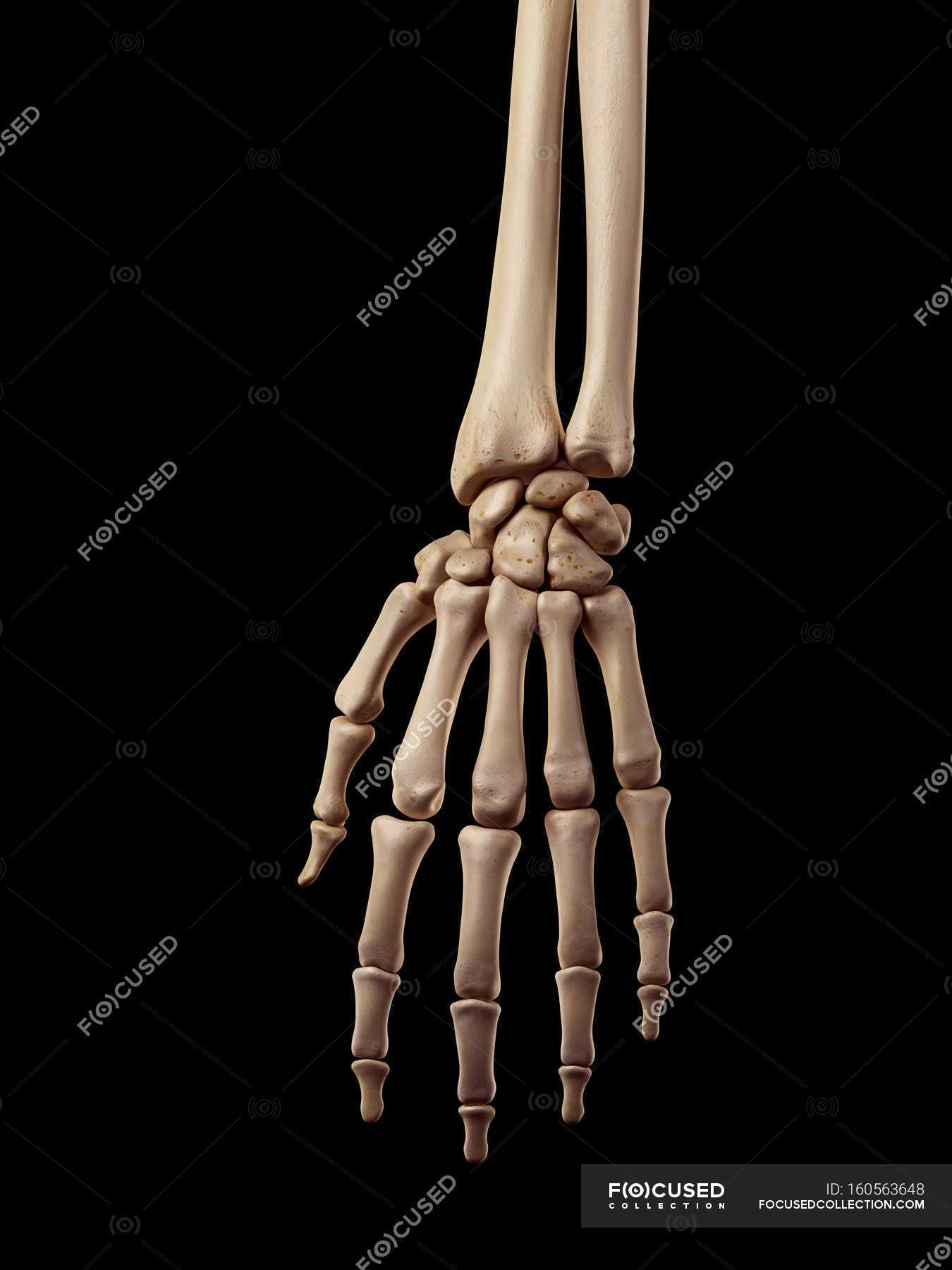 Human hand bones anatomy — Stock Photo | #160563648