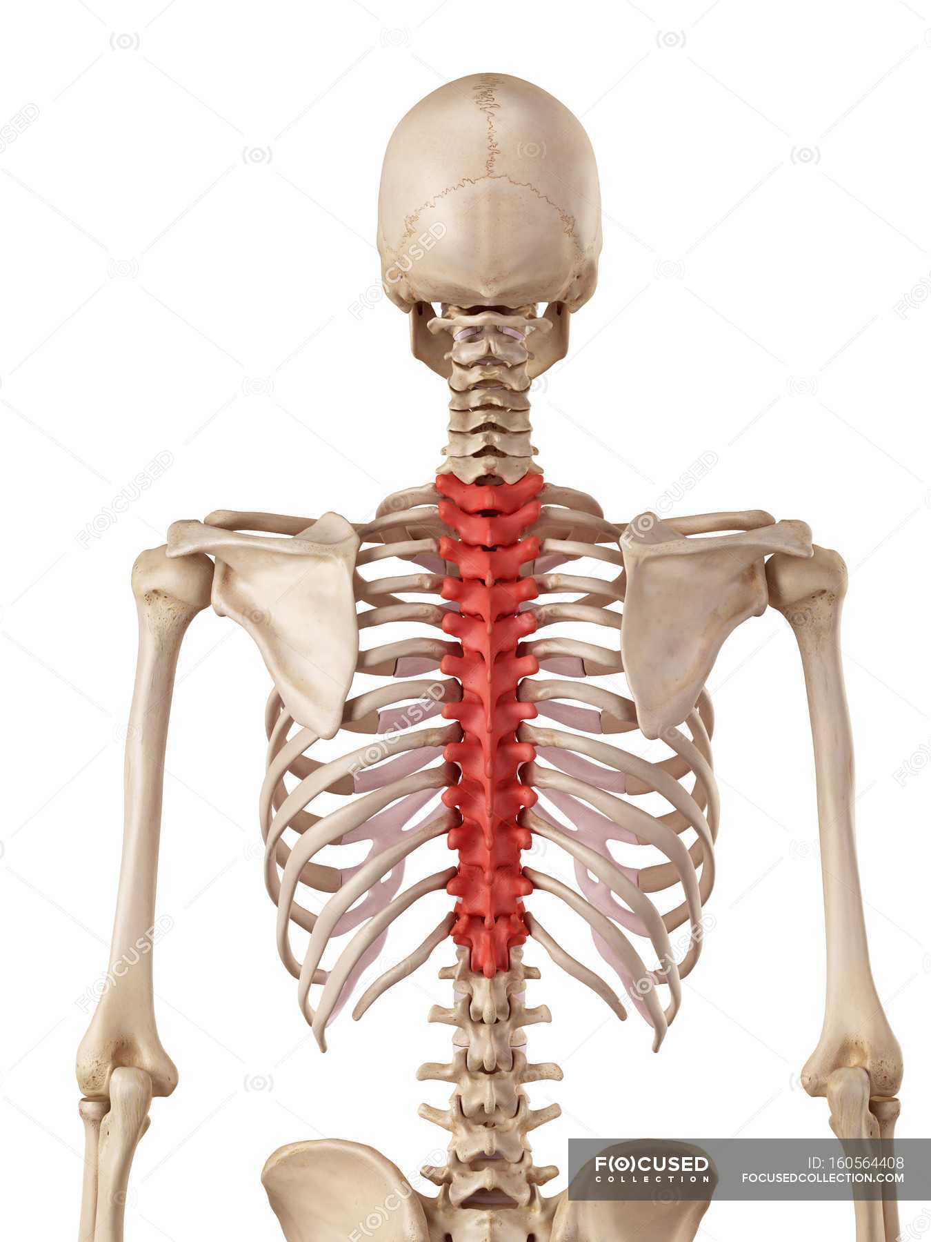Human Thoracic Spine White Background Rear View Stock Photo
