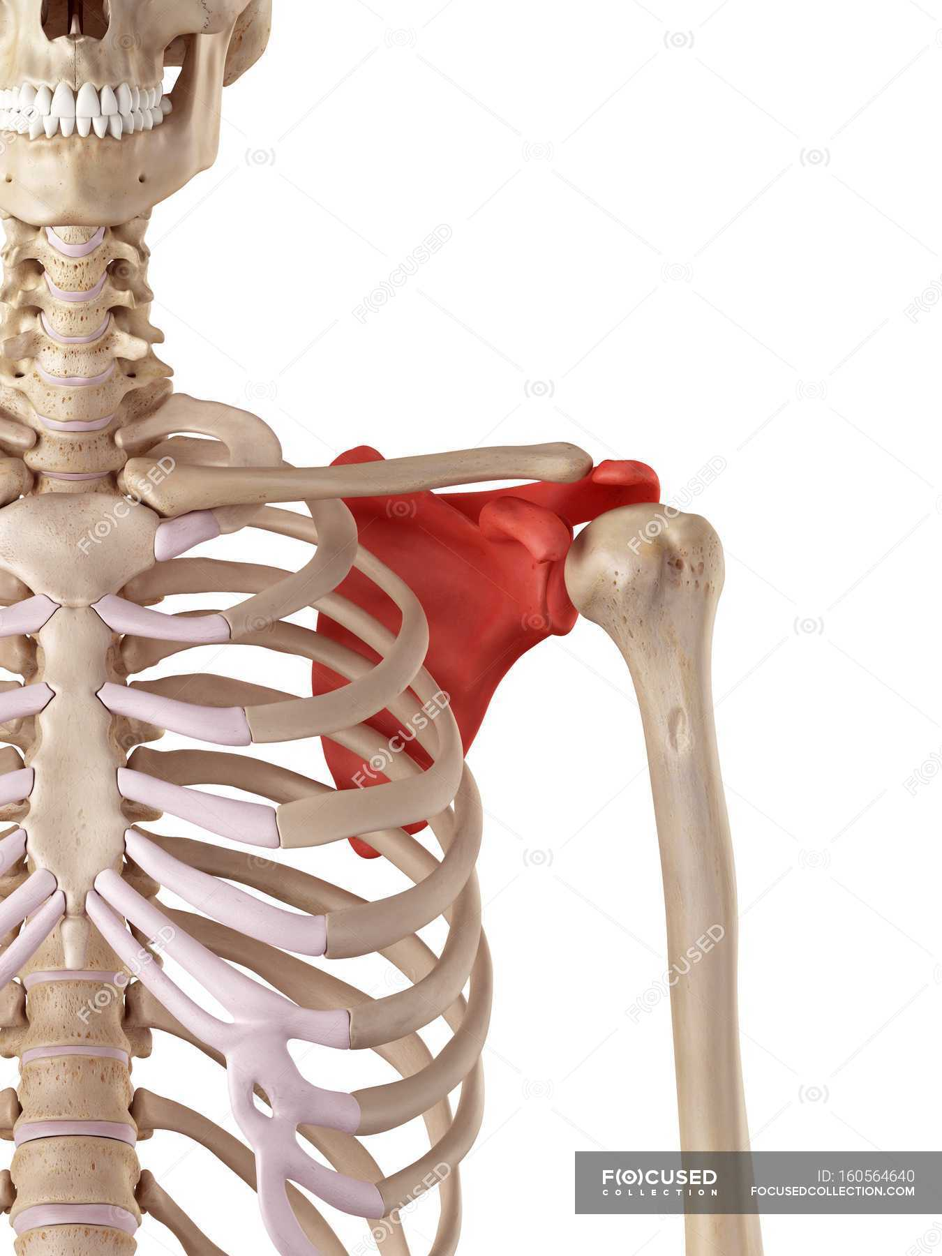 Human shoulder blade anatomy — Stock Photo | #160564640