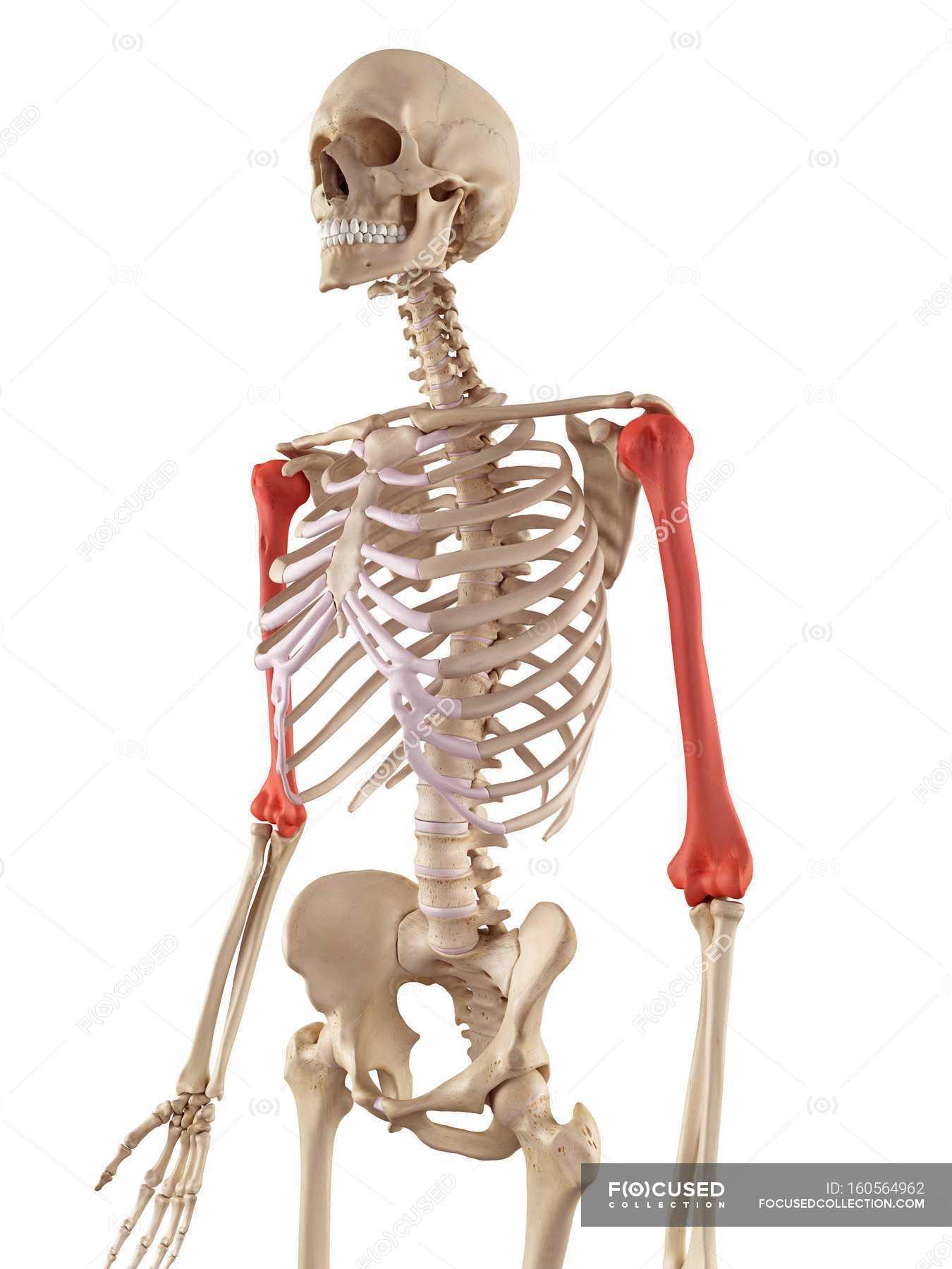Menschlicher Humerus Knochen Struktur — Stockfoto | #160564962