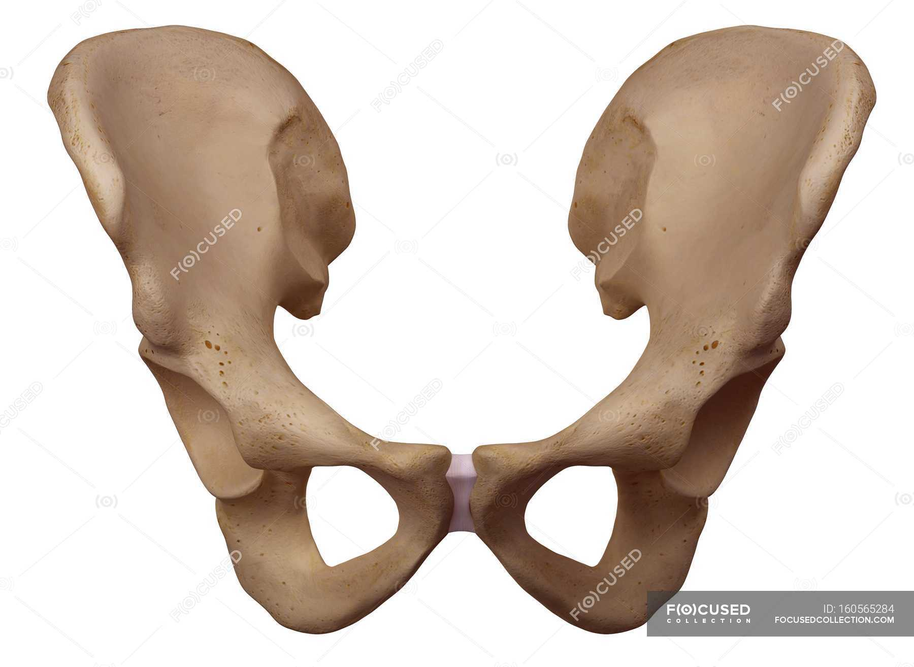 Human Hip Bone Structure Stock Photo 160565284