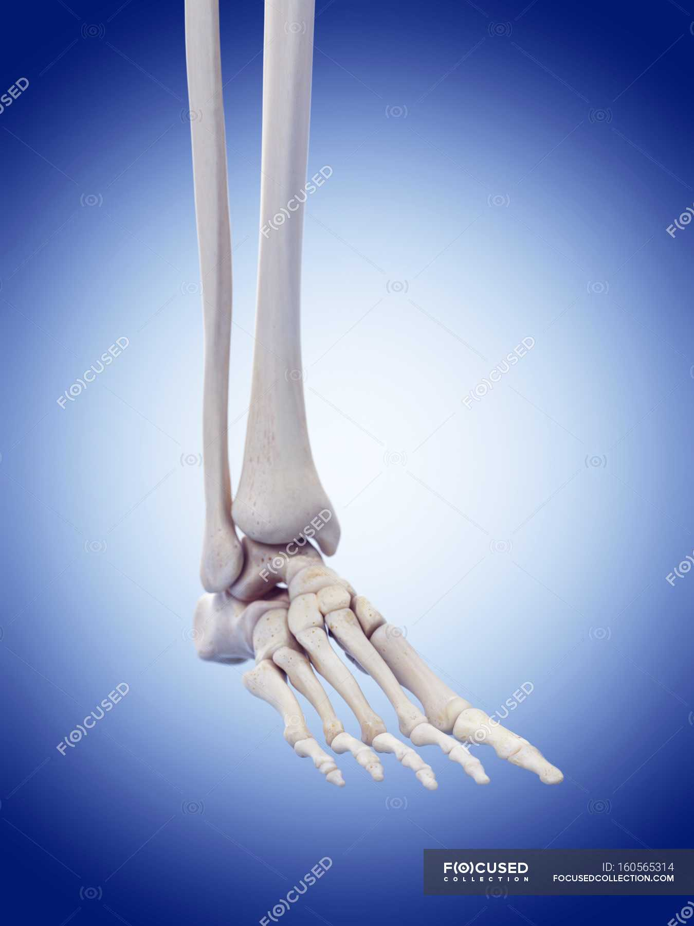 Old Fashioned Pictures Of Human Foot Bones Motif - Human Anatomy ...