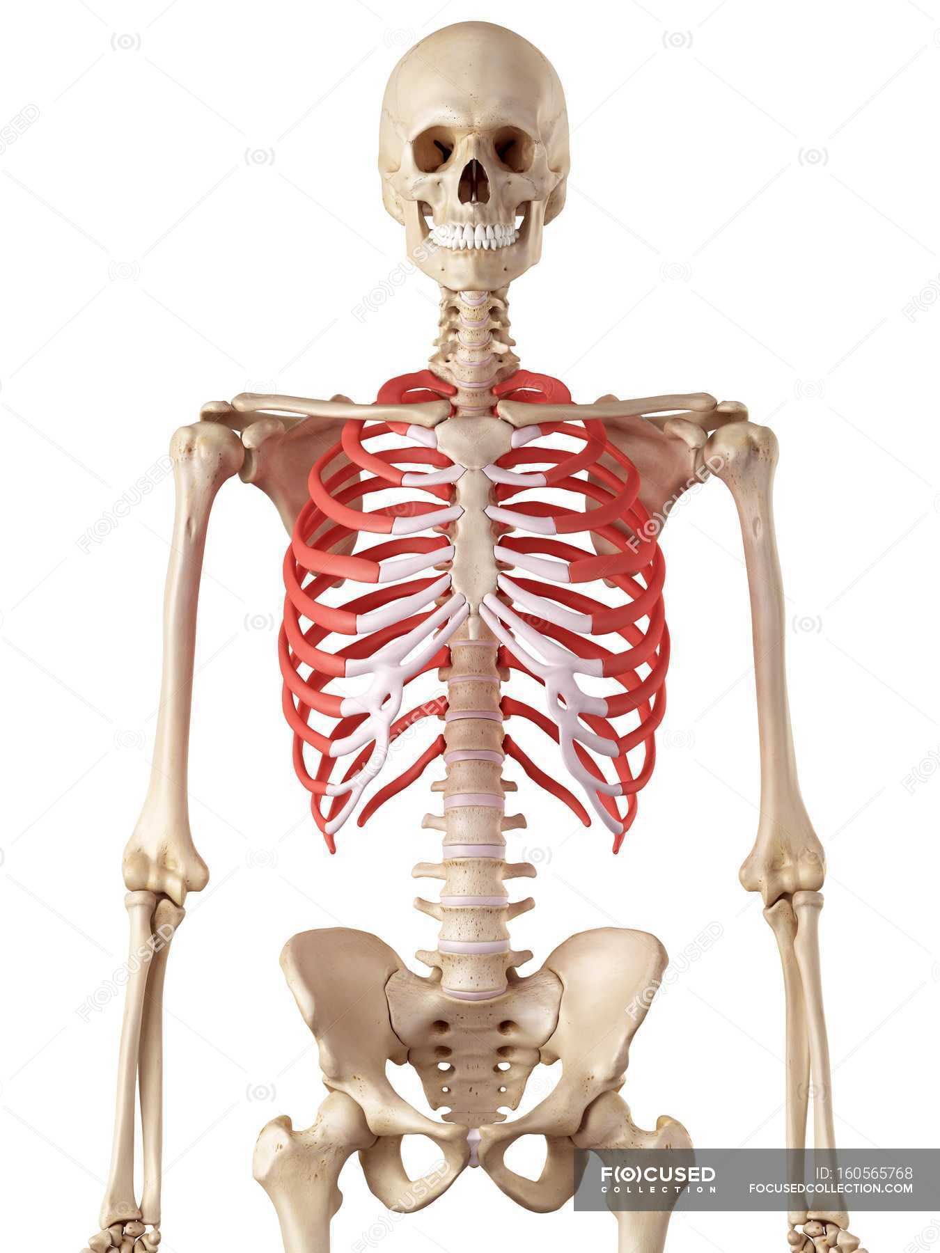 Human Rib Cage Anatomy White Background Plain Background Stock