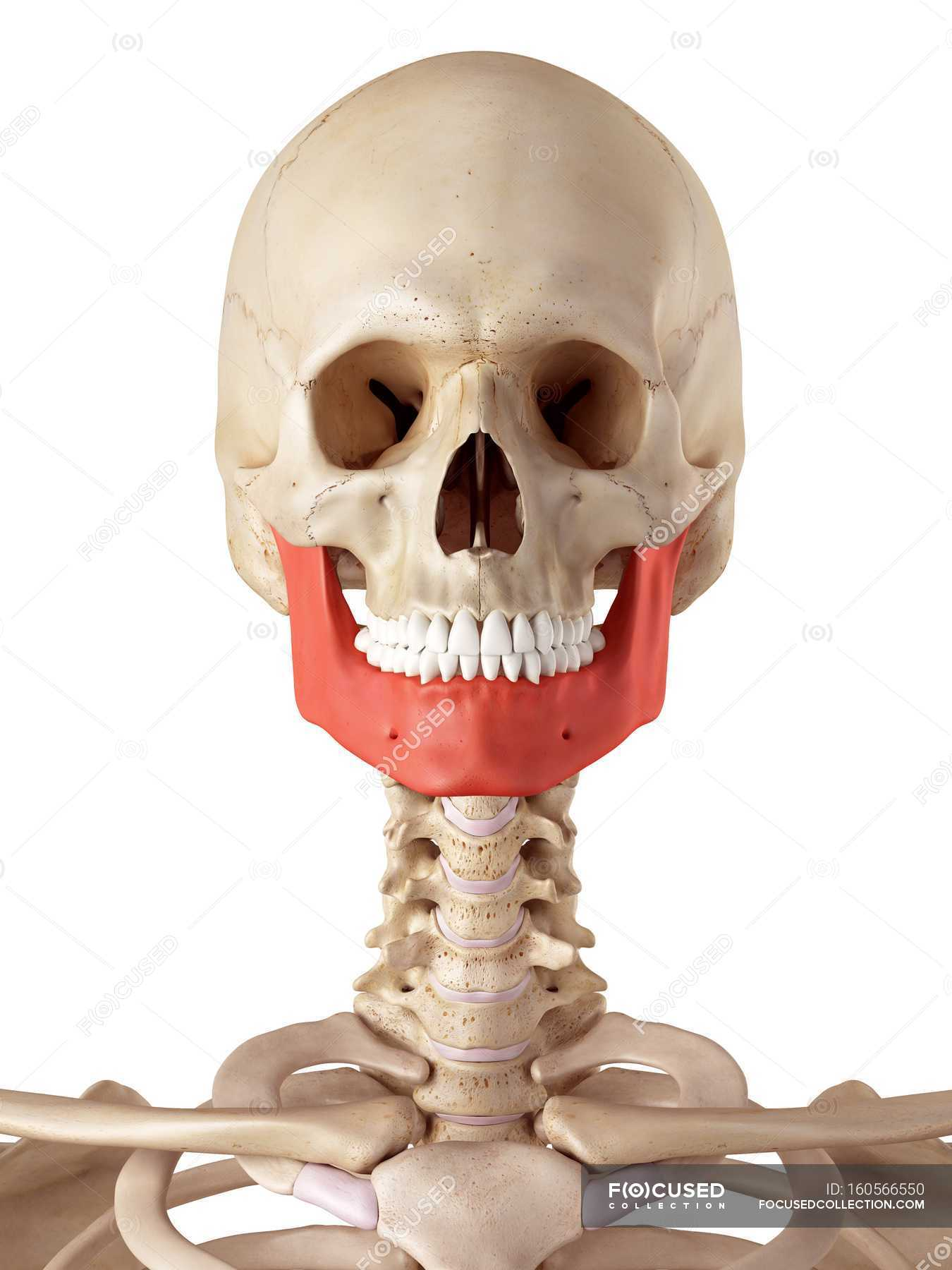 Human Jaw Bone Structure White Background Front View Stock
