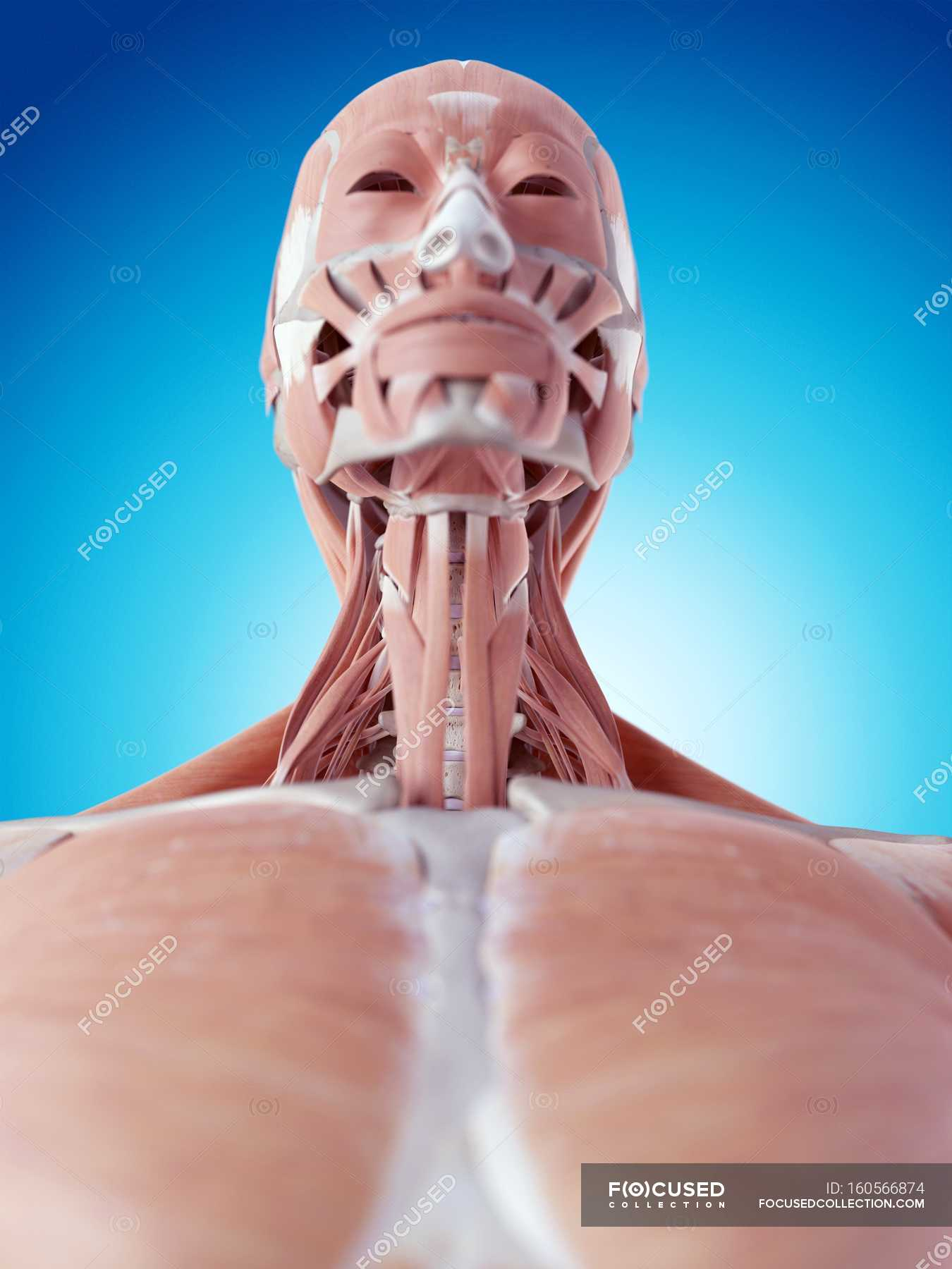 Human Face And Neck Muscles Stock Photo 160566874