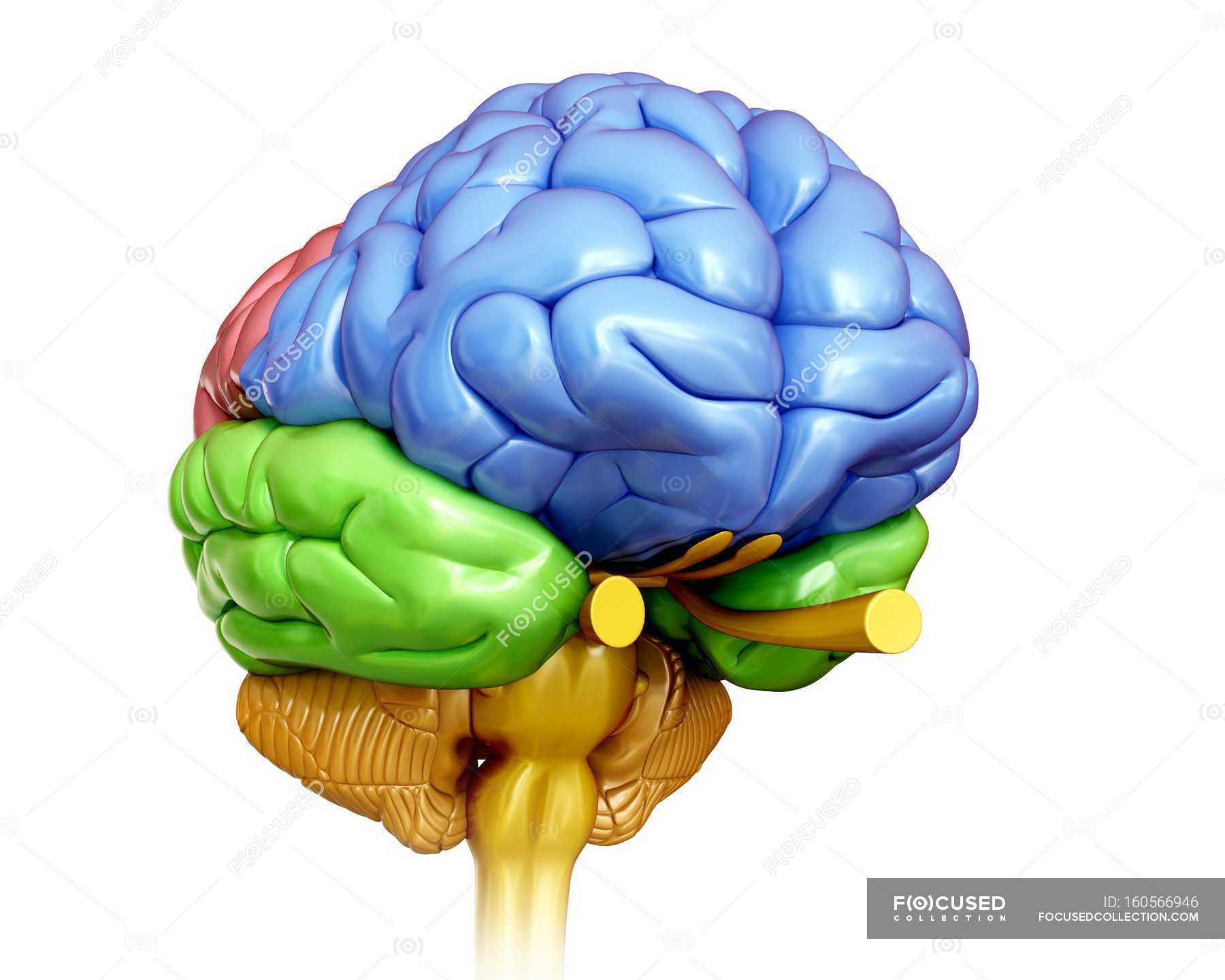 Anatomía del cerebro humano - foto de stock   #160566946