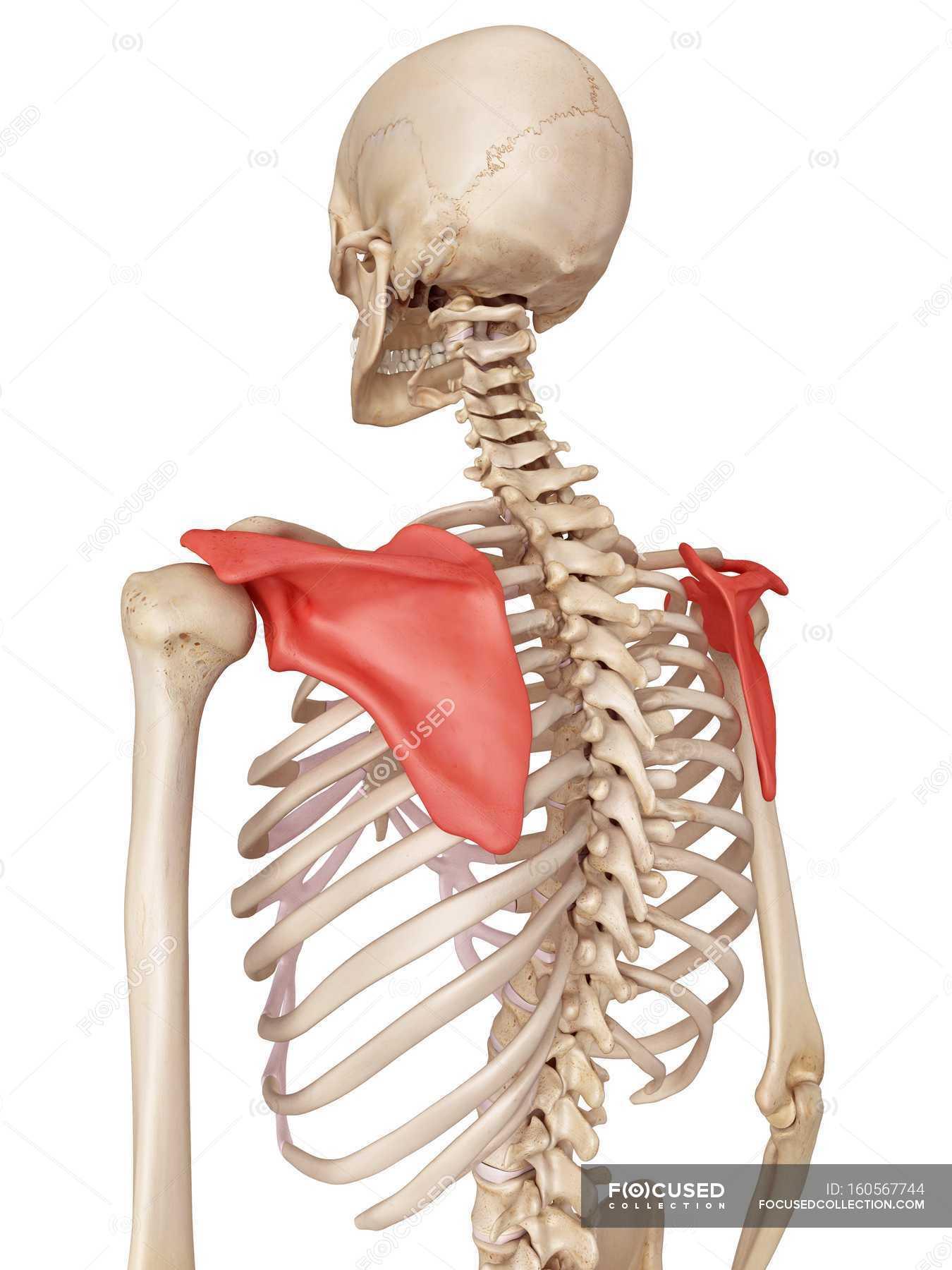 Shoulder Blade Anatomy Stock Photo 160567744
