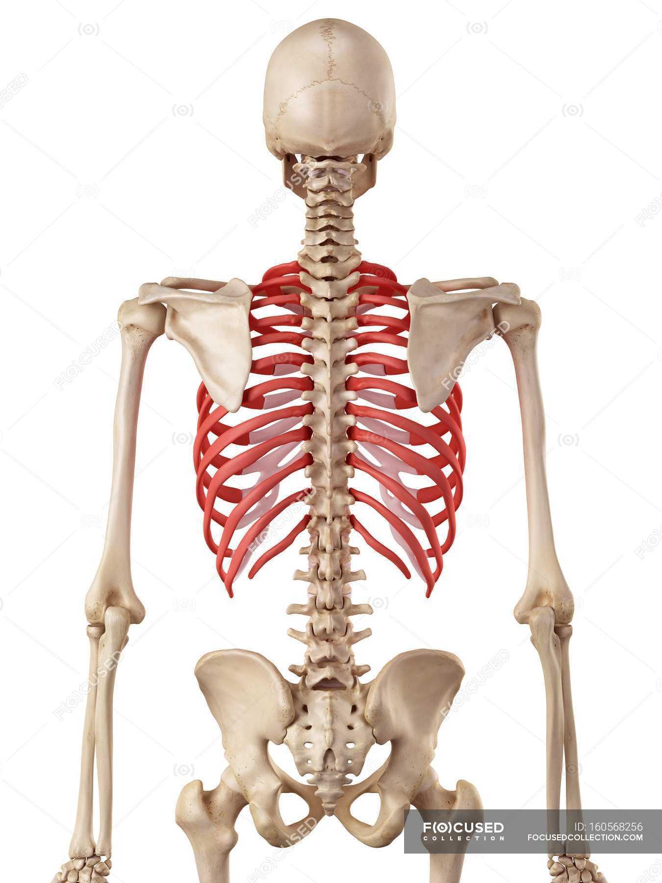 Human rib cage anatomy — Stock Photo | #160568256