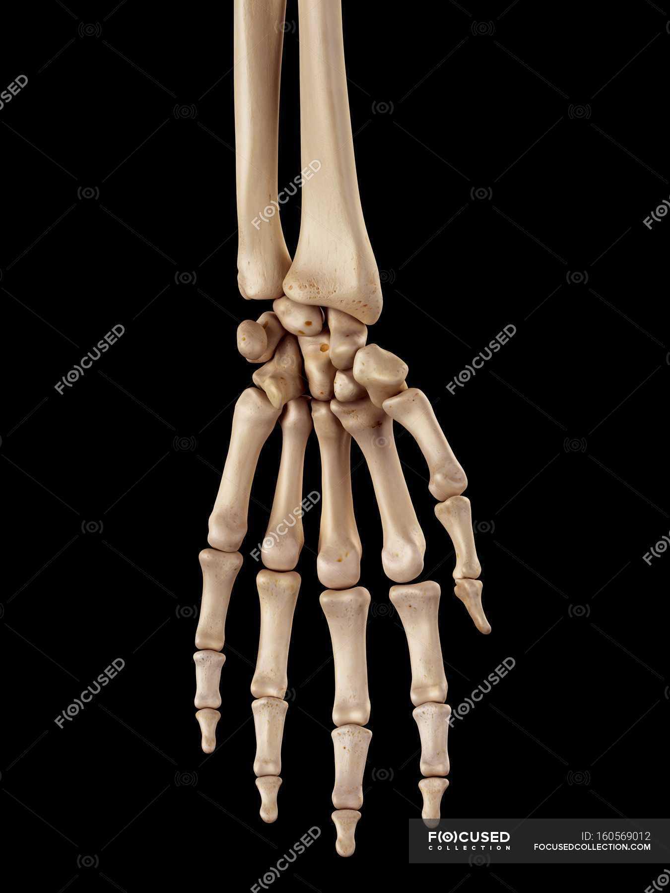 Human hand bones anatomy — Stock Photo | #160569012