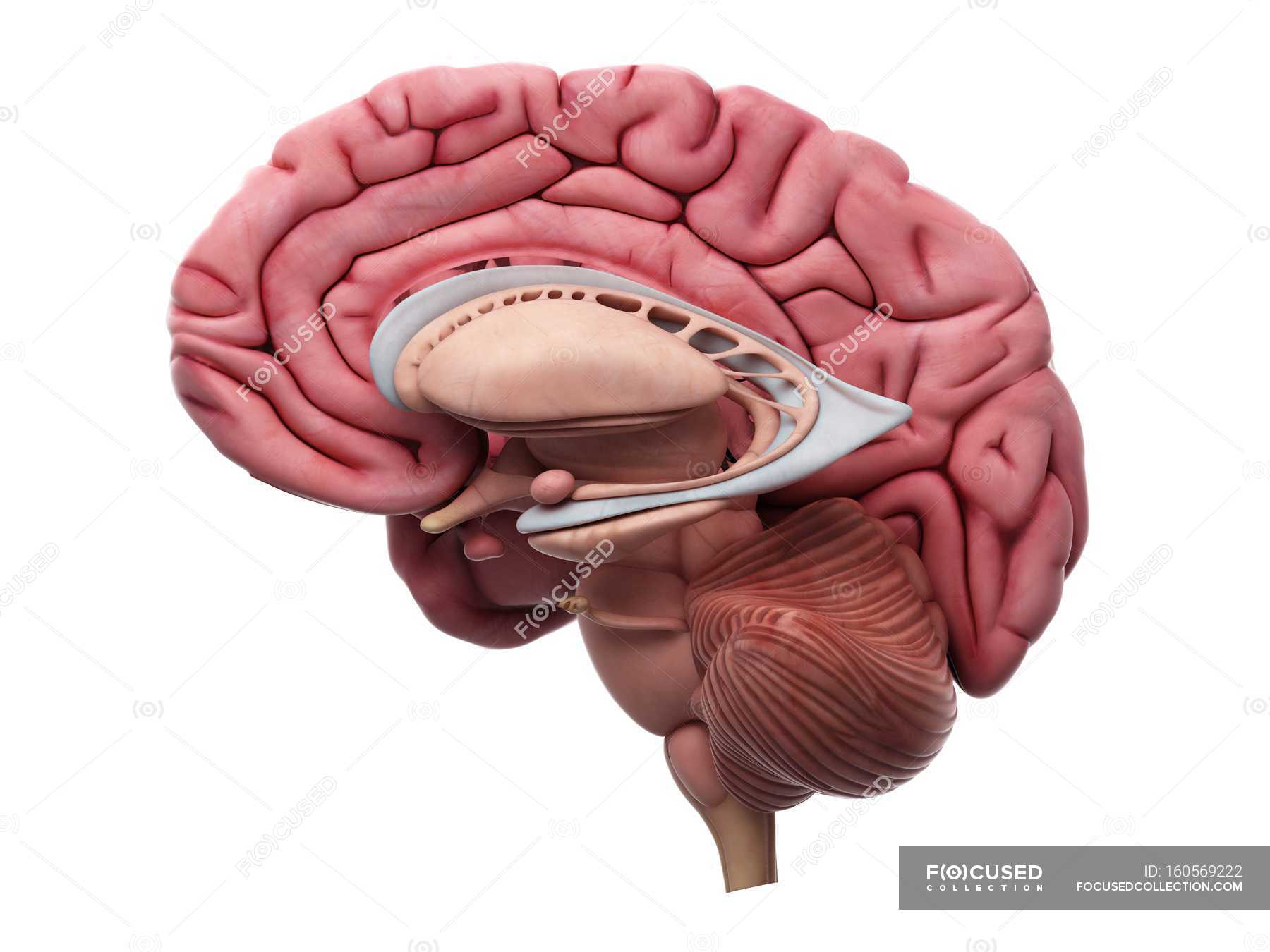 Internal Brain Anatomy Stock Photo 160569222