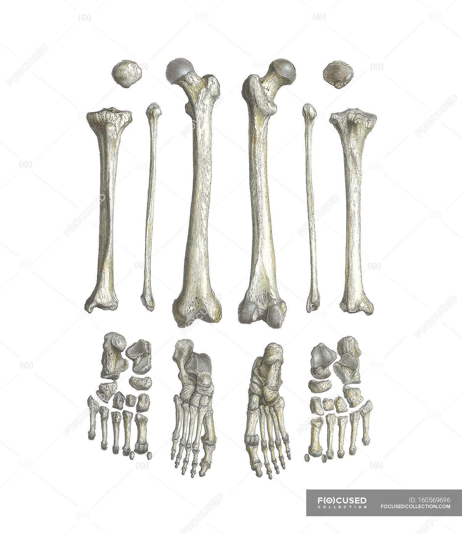 Bein Knochen Anatomie — Stockfoto | #160569696