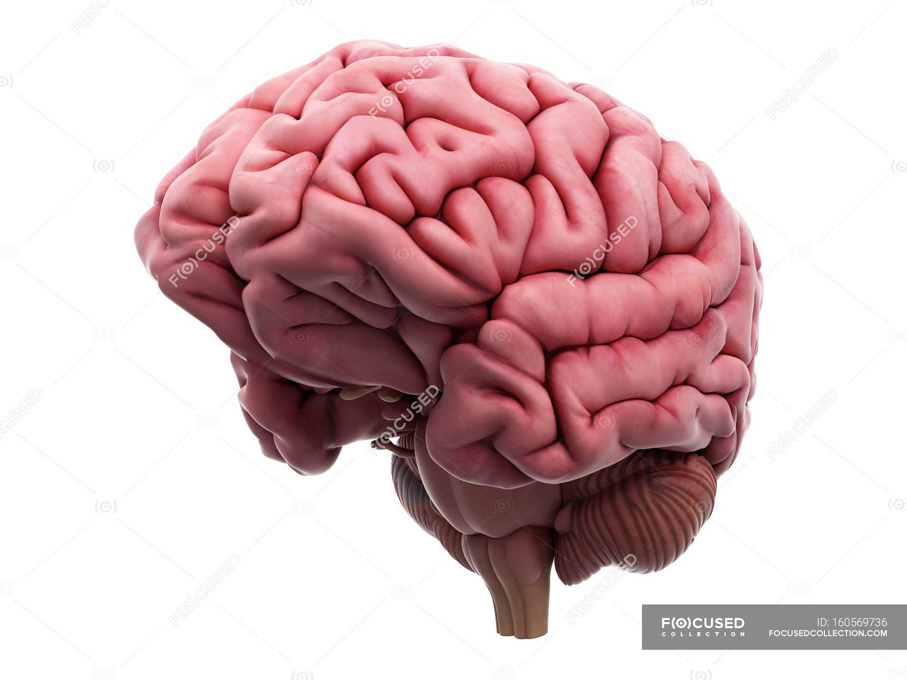 Human brain structure — Stock Photo | #160569736