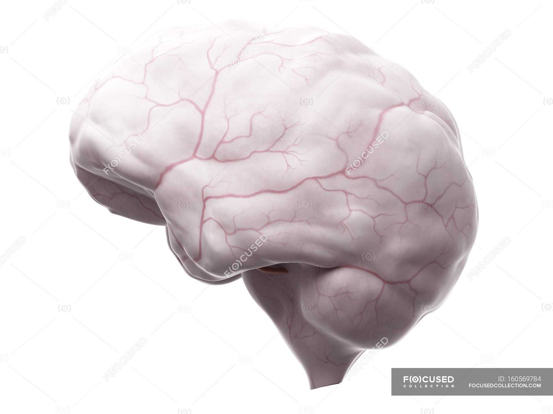 Brain anatomy showing blood supply system — Stock Photo | #160569784