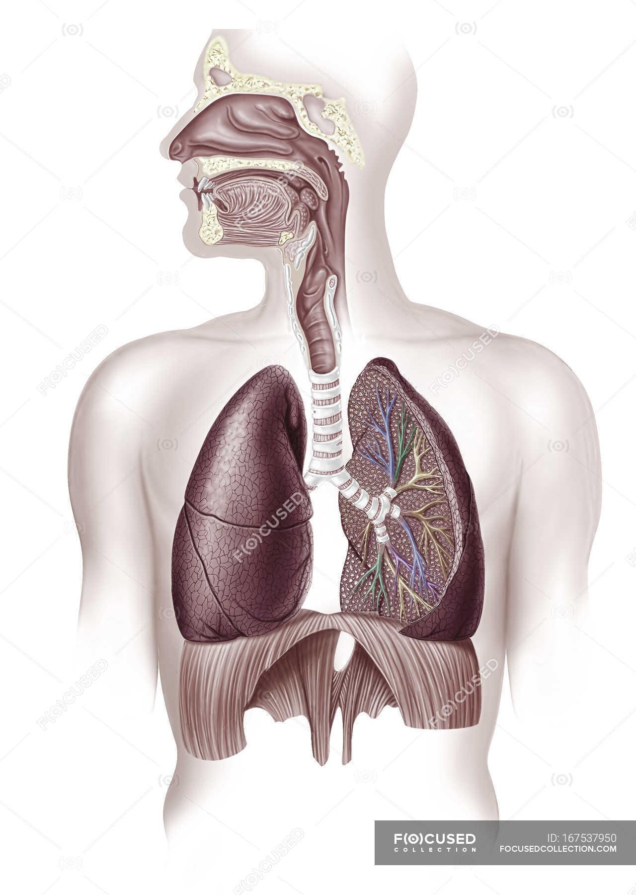 Menschliche Lunge Anatomie im Querschnitt, Abbildung — Stockfoto ...