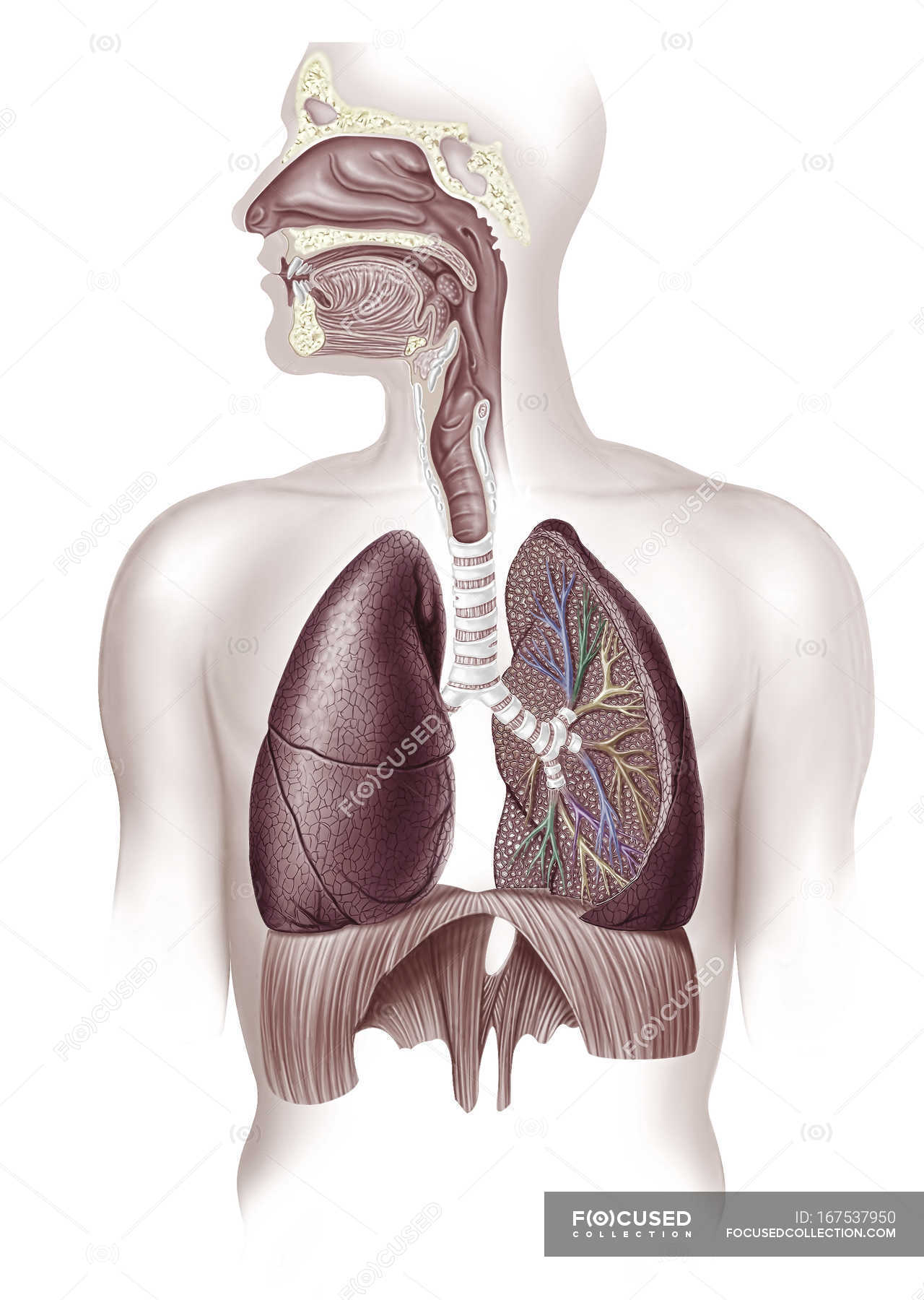 Human Lungs Anatomy In Cross Section Illustration White View