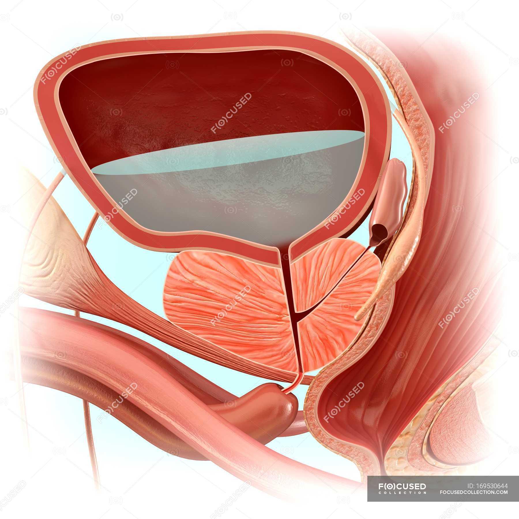 Male bladder anatomy — Stock Photo | #169530644