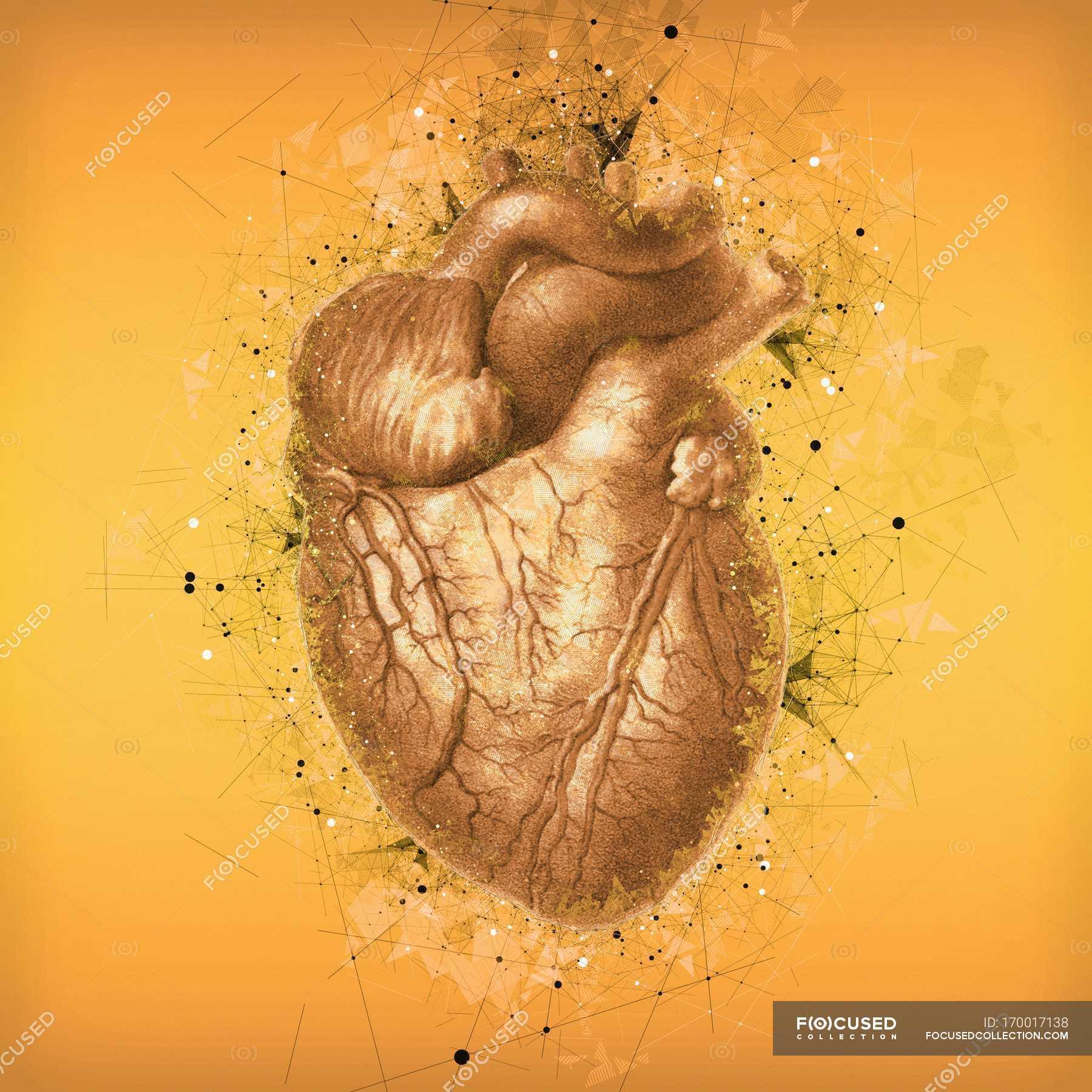 Normal Human Heart Anatomy Stock Photo 170017138