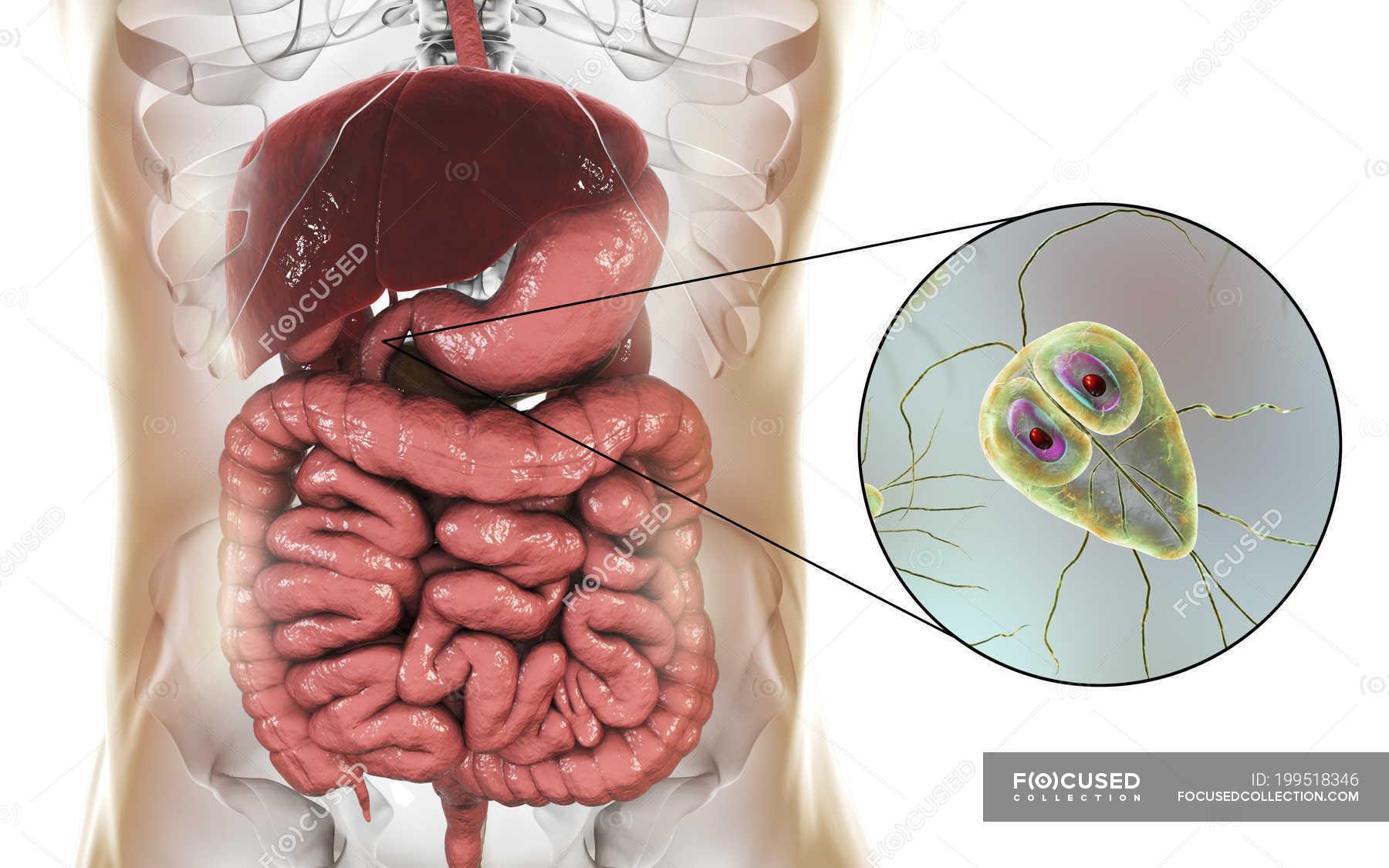 Parazitozele intestinale: giardioza si ascaridioza | fgscs.ro