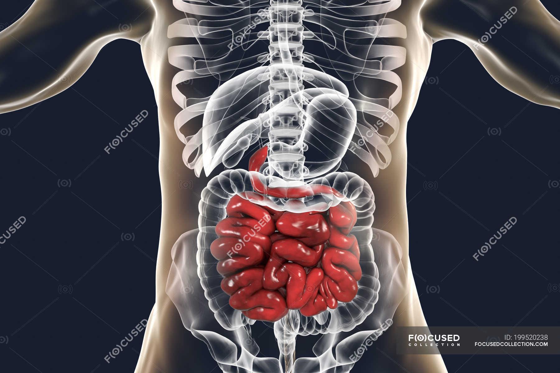 Digital Illustration Of Human Small Intestine On Plain Background