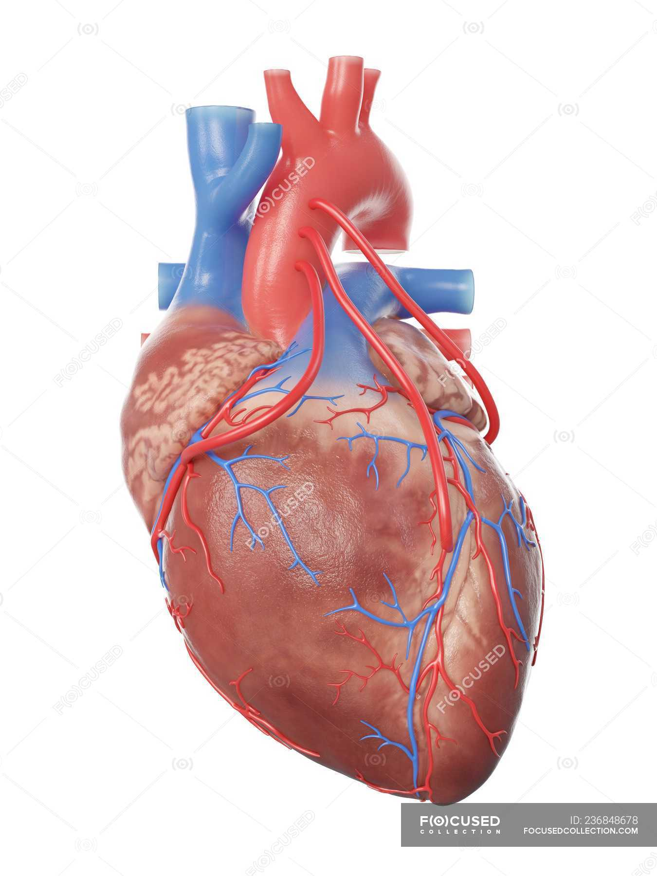 Illustration of realistic human heart with 3 bypasses ...