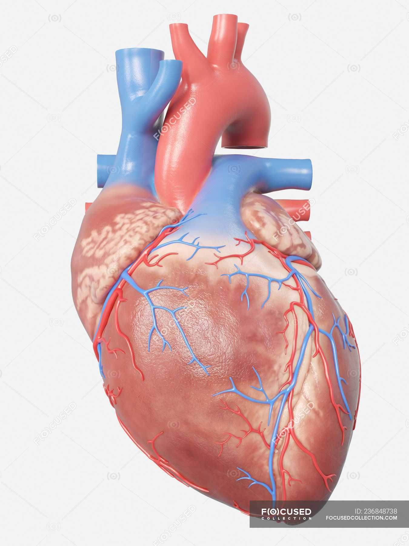 Illustration Of Human Heart Anatomy On Grey Background