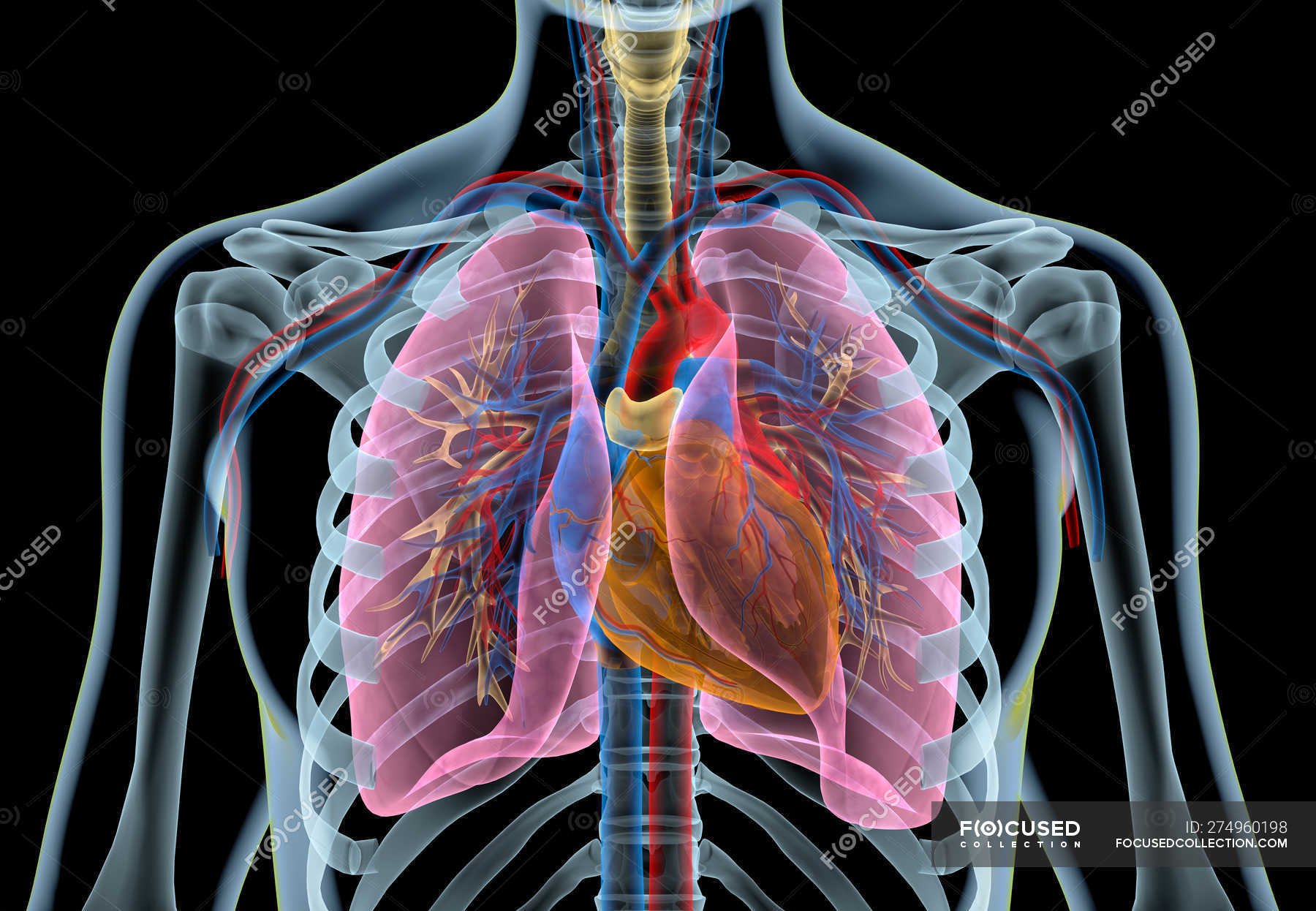 Human Heart With Vessels Lungs Bronchial Tree And Cut Rib Cage In X Ray Effect On Black Background Cardio Human Anatomy Stock Photo 274960198