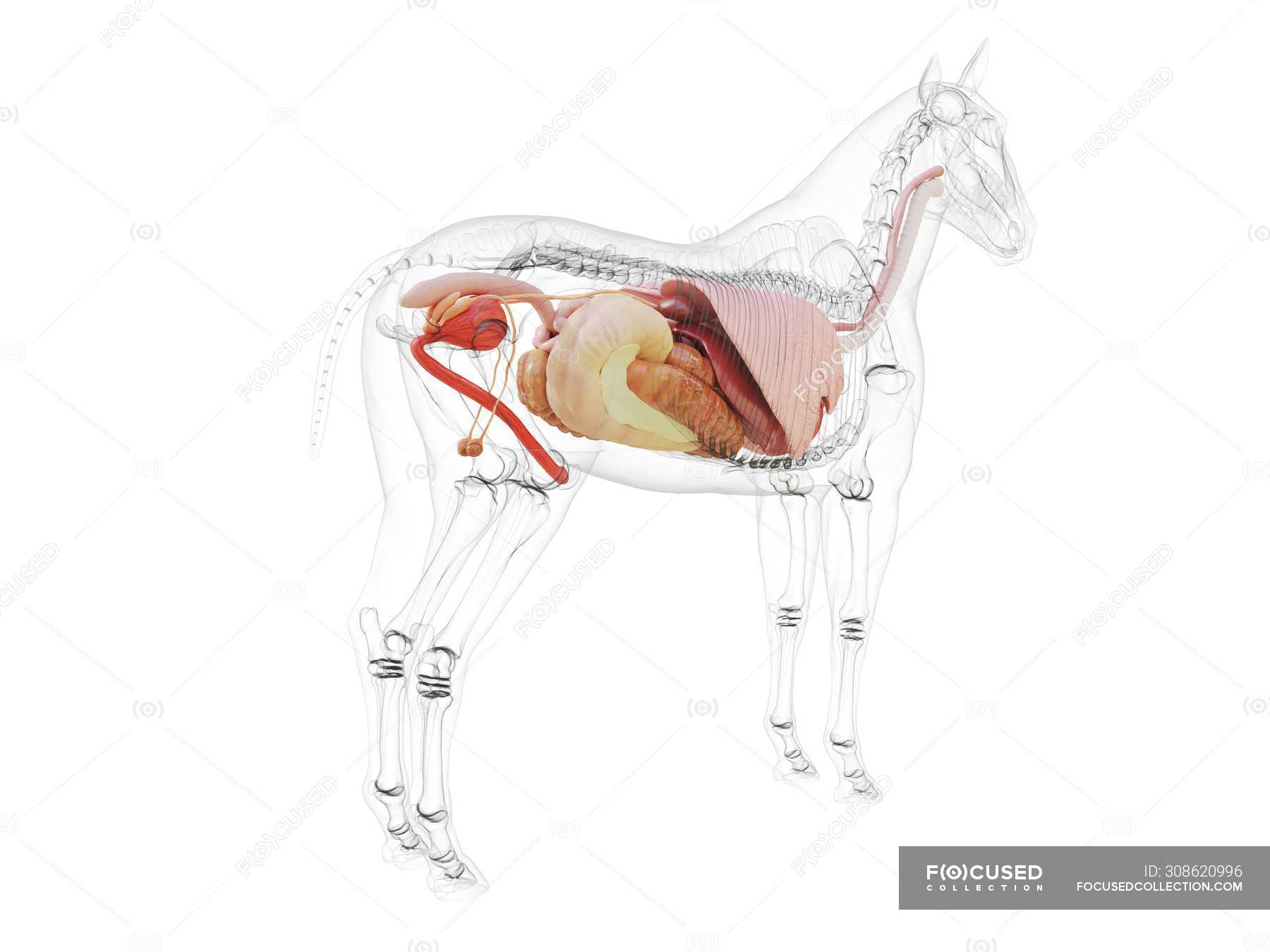 Horse Anatomy With Visible Internal Organs On White Background Computer Illustration Lungs Nature Stock Photo 308620996