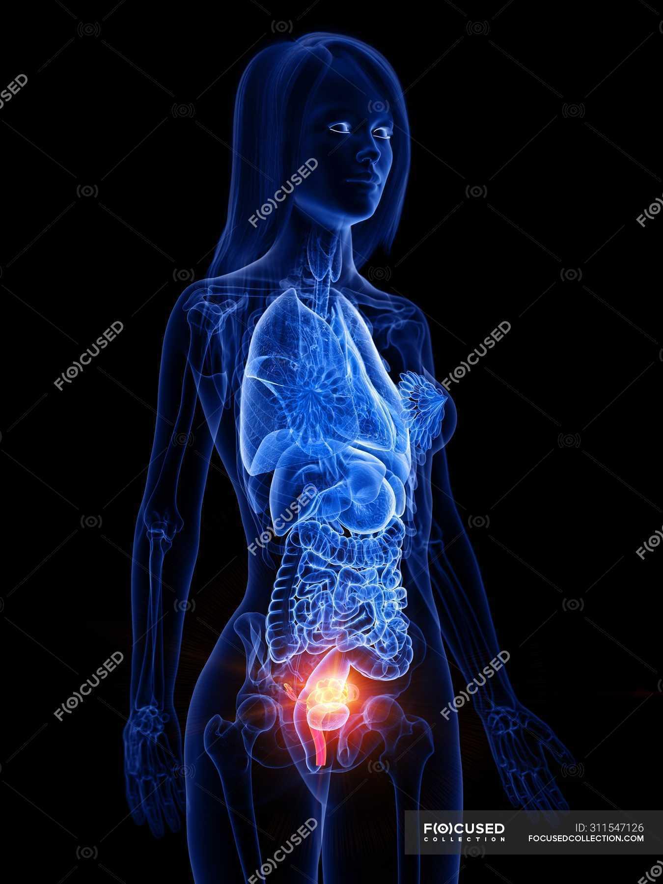 44 uterus human anatomy