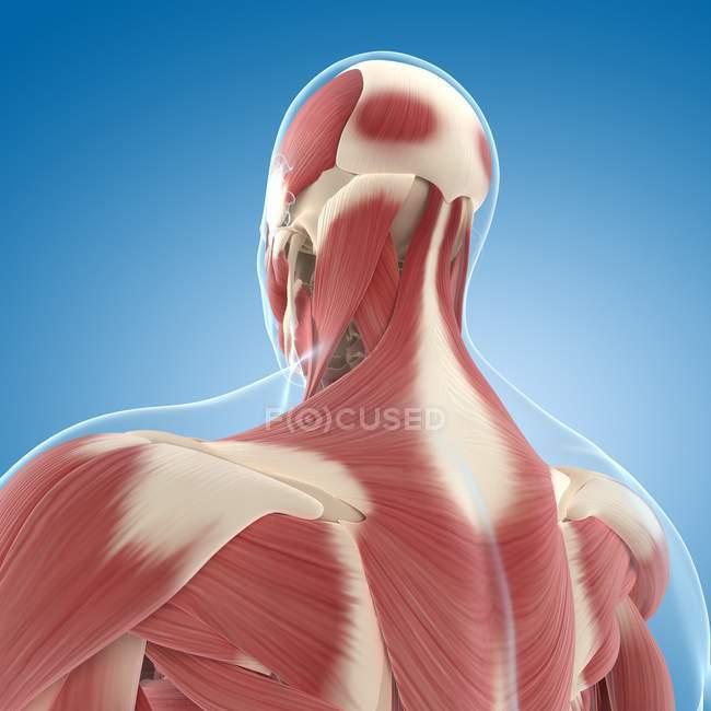 Спина і шия мускулатури — Stock Photo