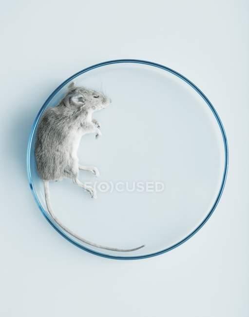 Вид сверху мертвых мыши в чашке Петри — стоковое фото