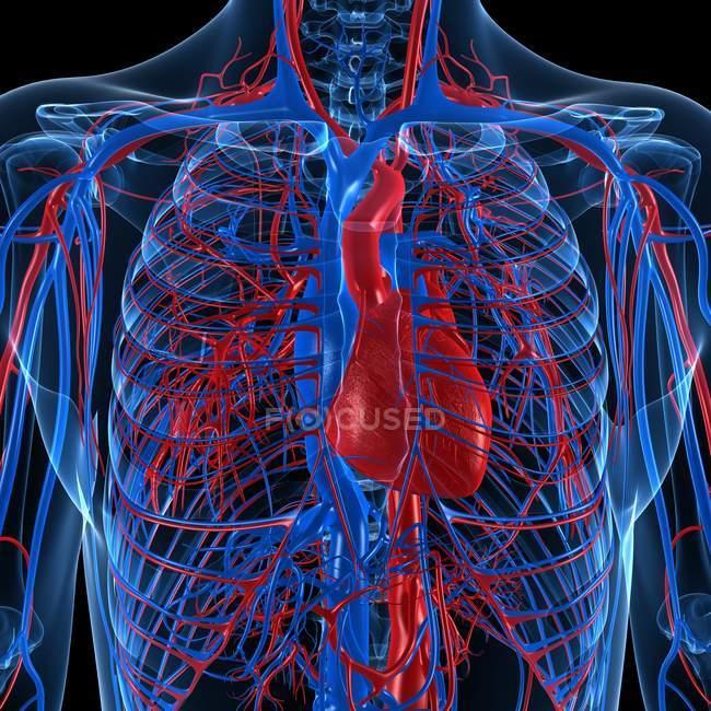Sistema cardiovascular que muestra venas y arterias - foto de stock