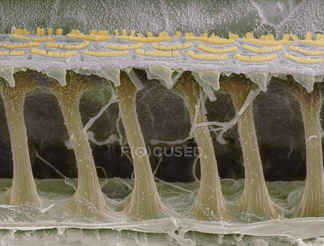 Coloured scanning electron micrograph (SEM) of sensory hair cells in the cochlea of the inner ear. — стоковое фото