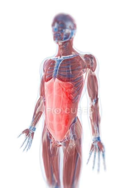 Rectus Abdominis Muscle Stock Photo 160165874